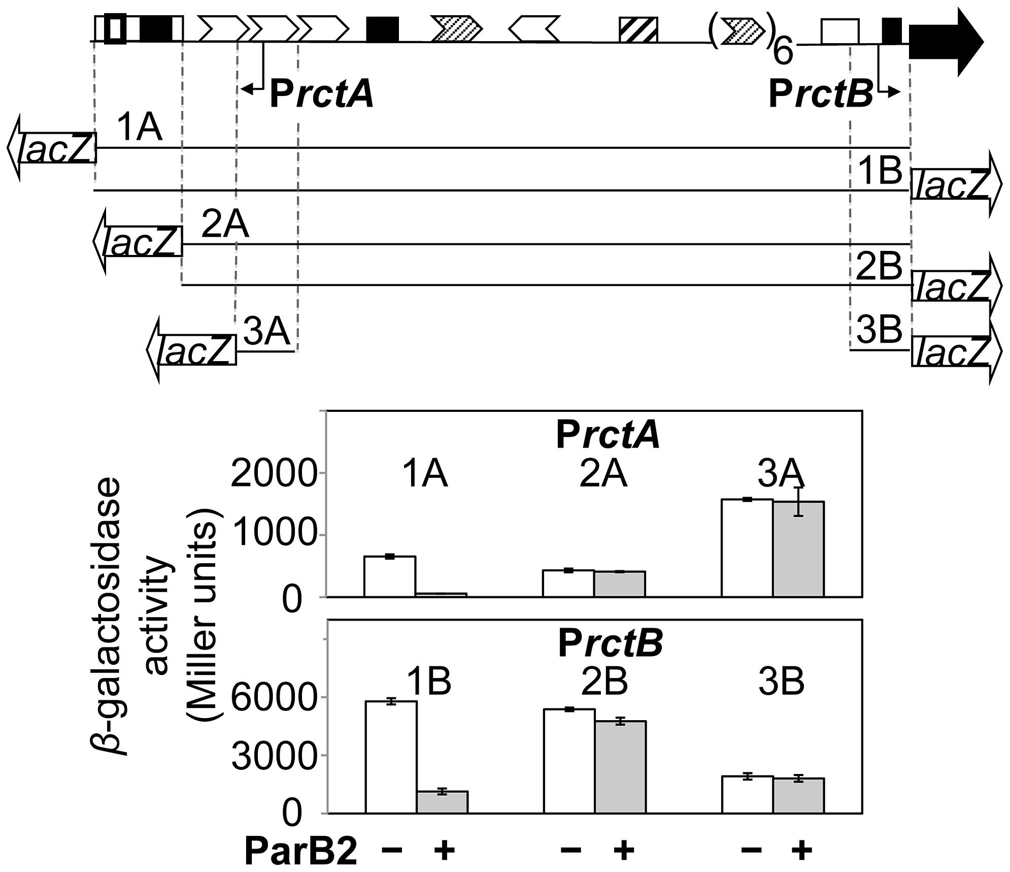 ParB2 can silence P<i>rctA</i> and P<i>rctB</i> in the presence of <i>parS2-B</i> in <i>E. coli</i>.