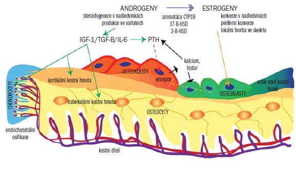 Schéma 1. Struktura kosti, buněčné elementy a hlavní dráhy ovlivňující hormonální kontrolu u mužů.  Osteoklasty prostřednictvím signálů iniciovaných osteocyty (mikrofraktury) nebo následkem nízké hladiny kalcia zahájí proces resorpce skeletu – proces, za jehož pozitivní kontrolu zodpovídá PTH a za negativní kontrolu estradiol (prostřednictvím přímého účinku PTH a Eon osteoblastů). Zároveň se zahájením kostní resorpce osteoblasty spouštějí opačný proces tvorby kostní hmoty. Androgeny stimulují proliferaci chondrocytů a formování periostální kostní tkáně, což má za následek růst kosti. Činností estradiolu dochází k uzavření epifýz. Androgeny vznikající ve varlatech a nadledvinách jsou prostřednictvím periferního a lokálního účinku aromatázy CYP19 a dalších enzymů přeměněny na estradiol. Tento diagram je zjednodušený a nezahrnuje signální dráhy mezi buňkami ani roli novějších proteinů, např. metal-proteázy. Podrobné vysvětlení vzájemných vazeb naleznete v textu.