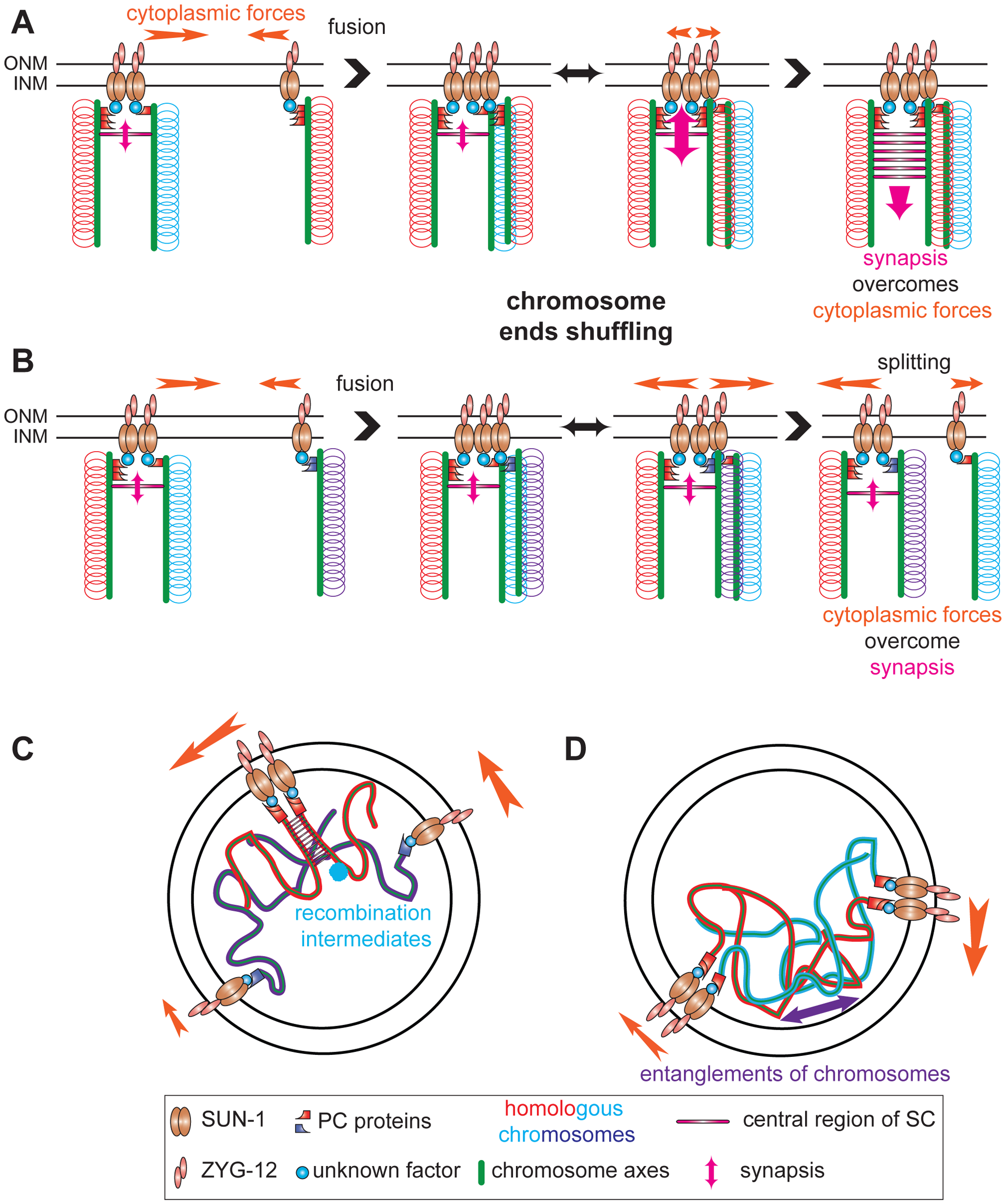 Establishment of synapsis and formation of high speed via shuffling of chromosome ends through SUN-1 patches.