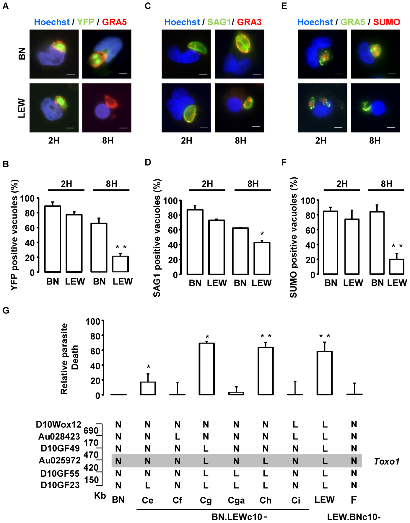 Intravacuolar Toxoplasma parasites are killed within resistant <i>Toxo1</i>-LEW peritoneal macrophages.