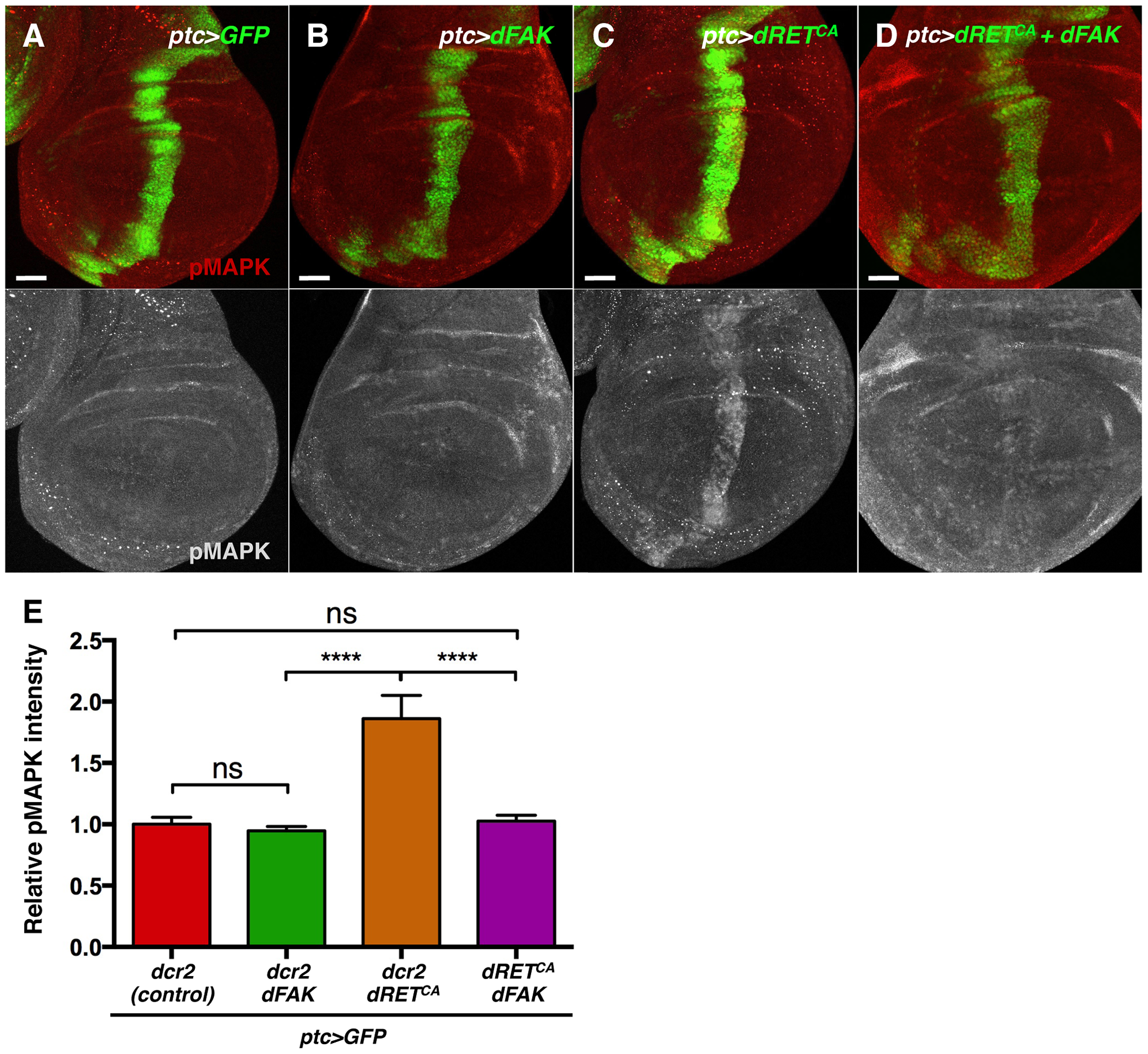 FAK inhibits RTK signalling by impairing Ras/MAPK pathway.