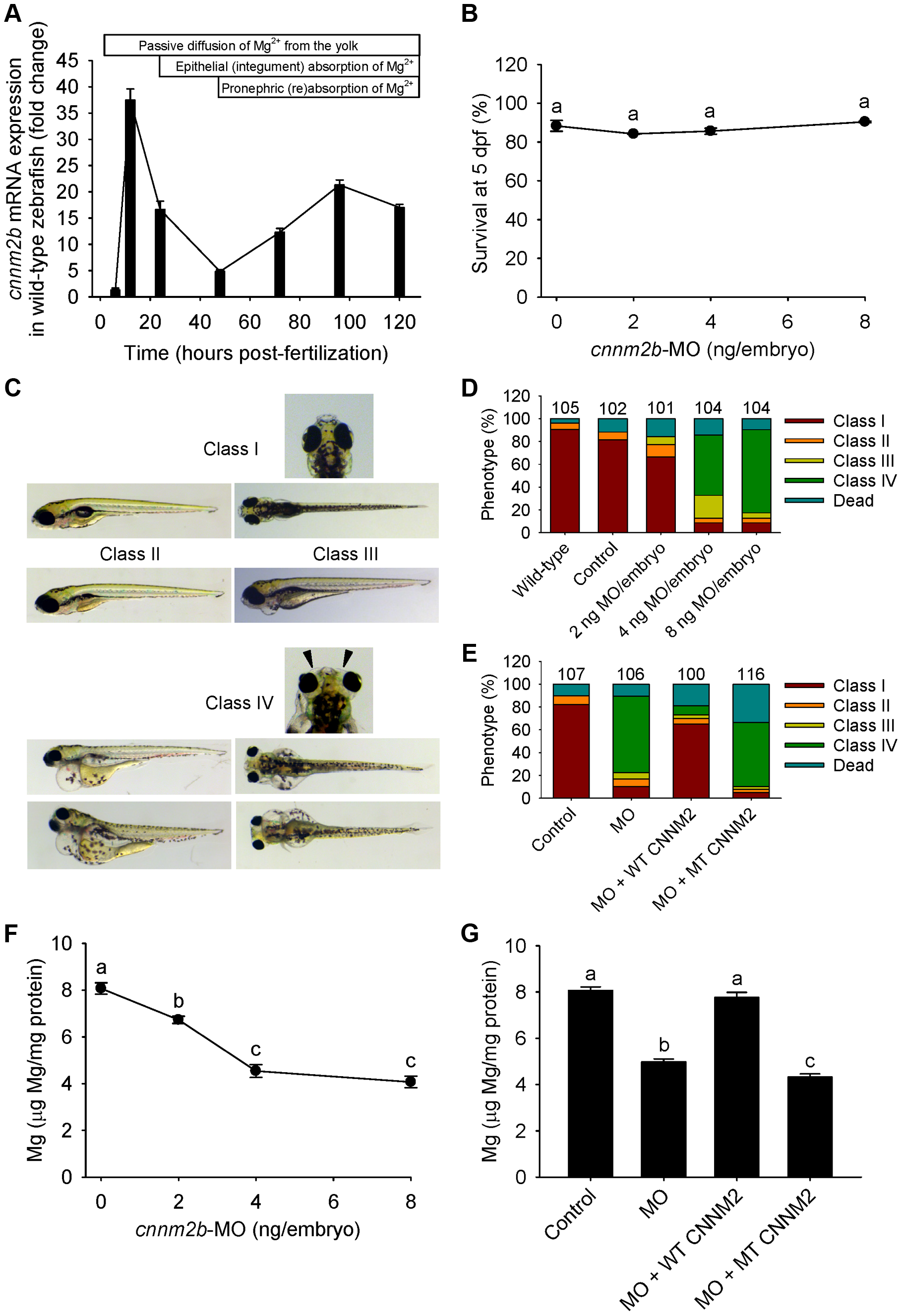 Knockdown of <i>cnnm2b</i> results in Mg wasting and brain malformations in zebrafish larvae (5 dpf).