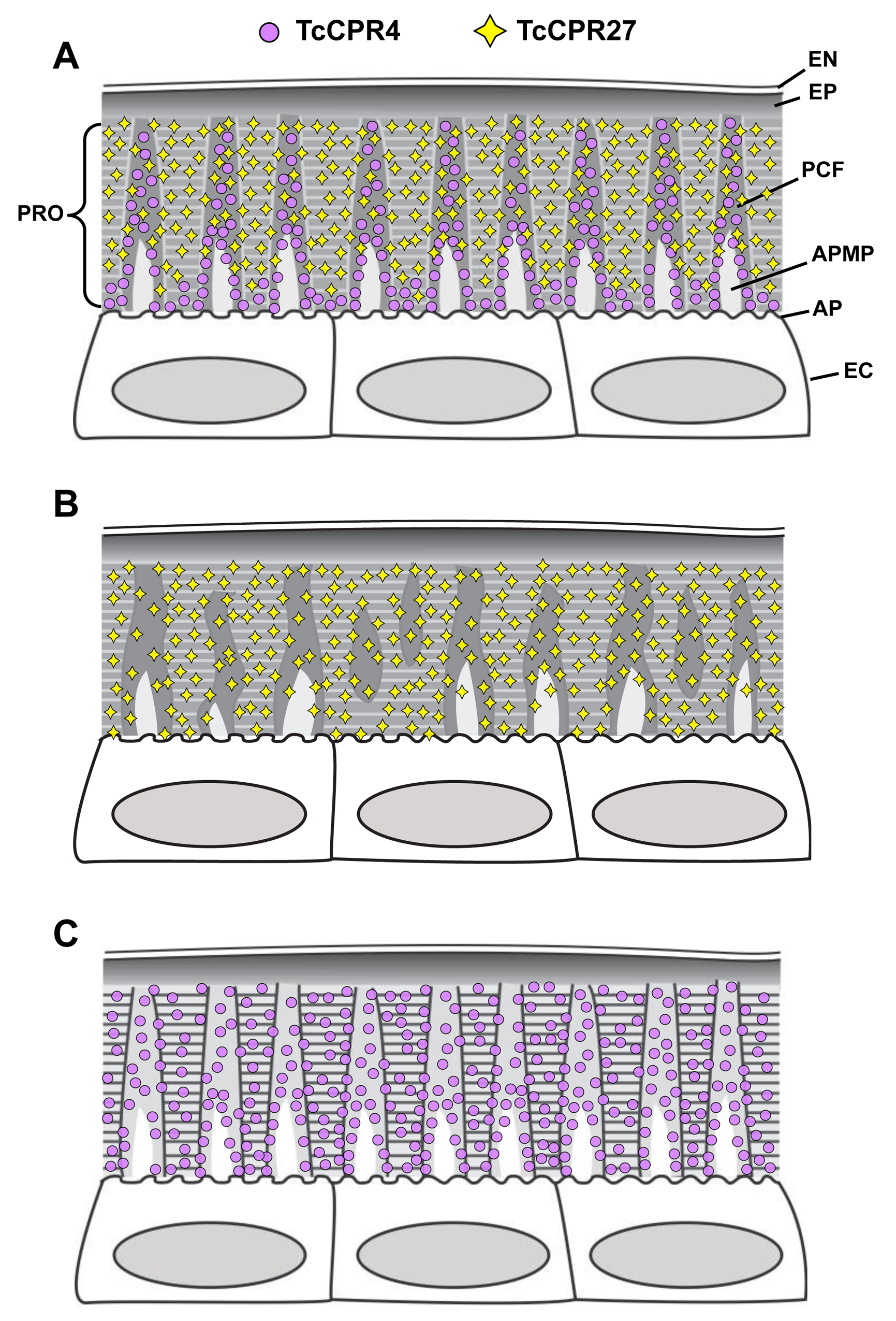 Schematic diagram of structure and localization of TcCPR4 and TcCPR27 proteins in rigid cuticle of adult <i>T</i>. <i>castaneum</i>.