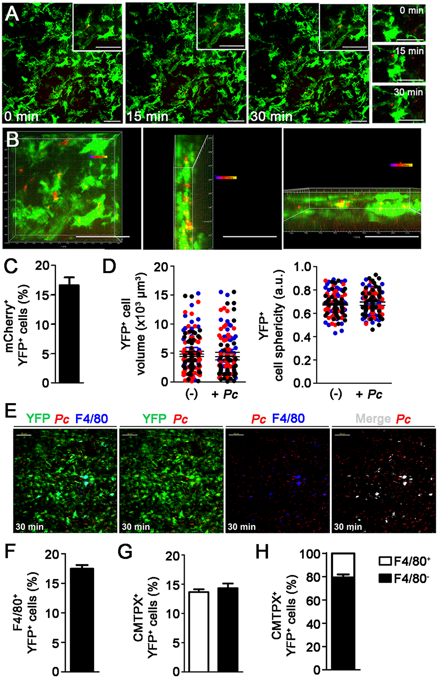 <i>In vivo</i> analysis of iRBC uptake by subcapsular RP DCs soon after <i>Pc</i> infection.