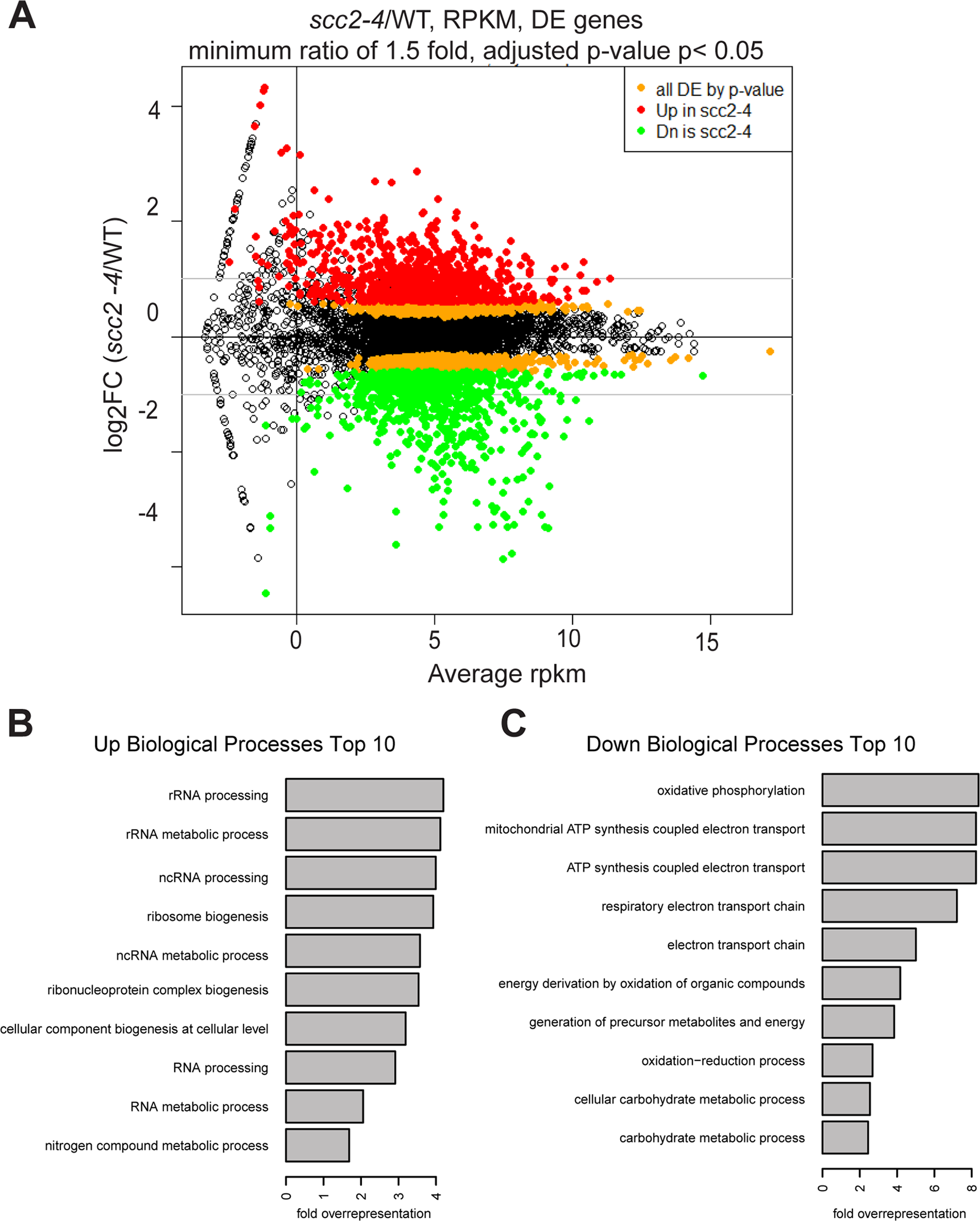Hundreds of genes are differentially expressed in the <i>scc2-4</i> mutant compared to WT at 30°C in YPD.