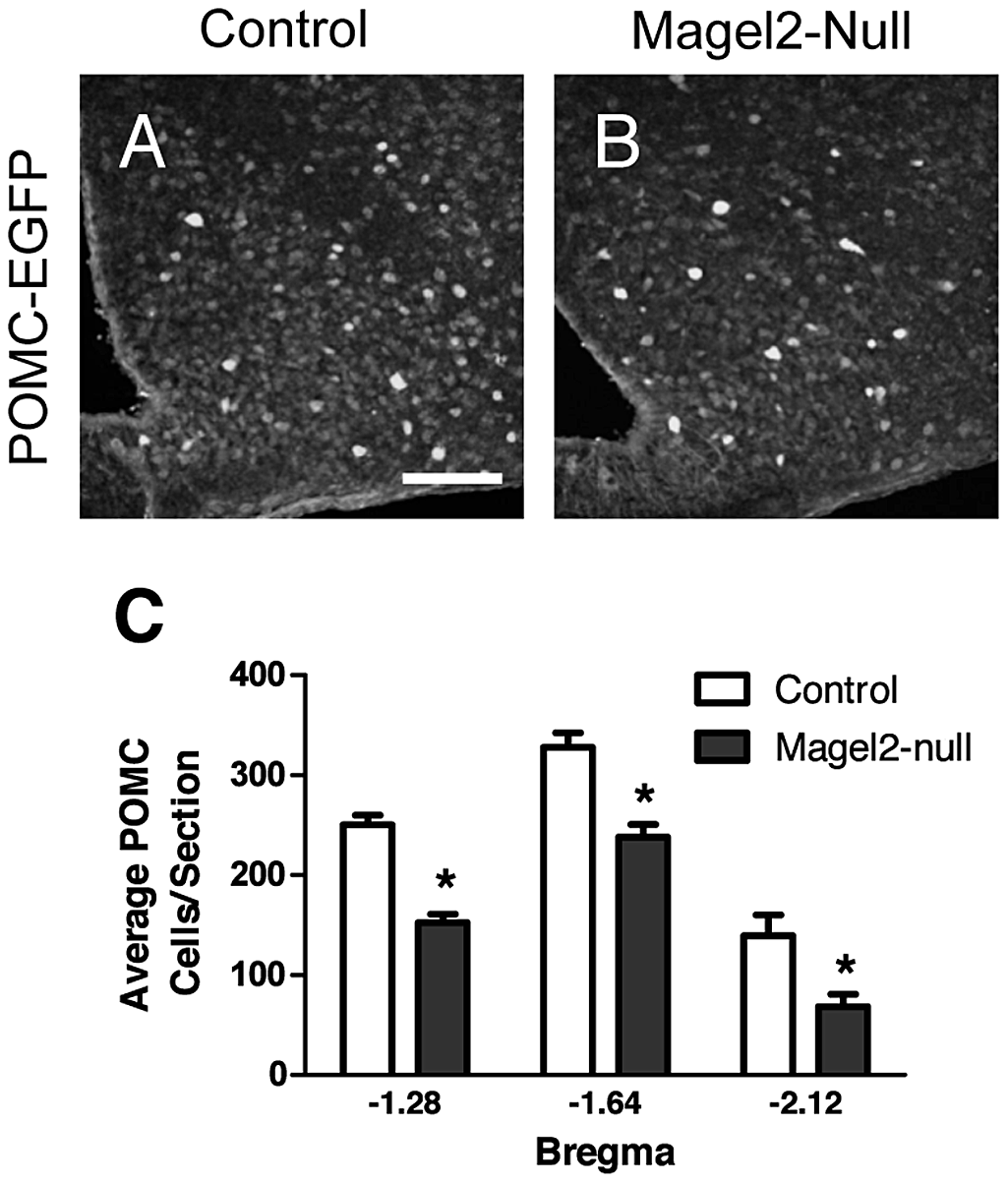 <i>Magel2</i>-null mice have fewer ARC POMC neurons.