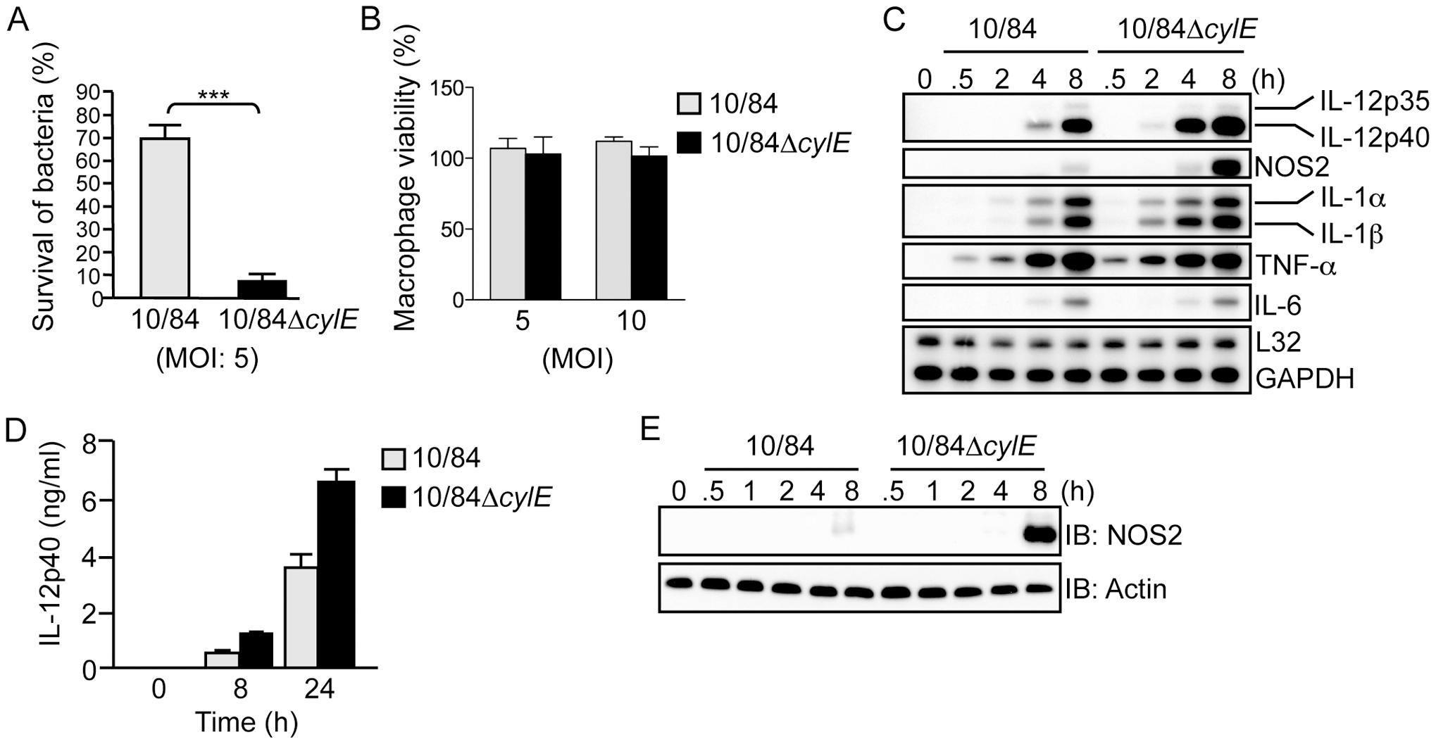 β hemolysin/cytolysin inhibits macrophage killing activity and induction of IL-12 and NOS2 expression at sub-lytic concentrations.