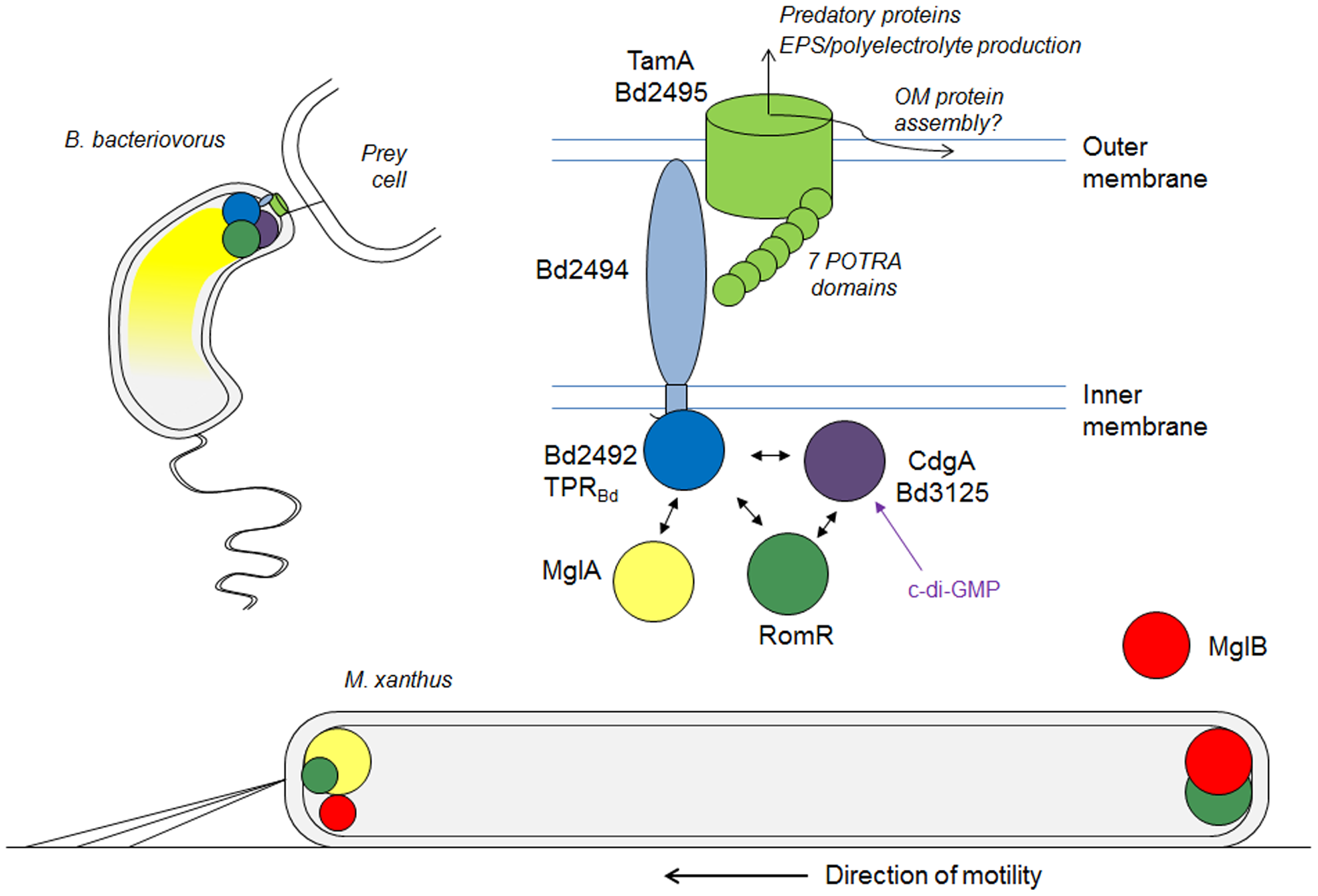Model for <i>B. bacteriovorus</i> predatory-pole regulation during prey-invasion and its relationship to <i>M. xanthus</i> bipolar motility-control proteins.