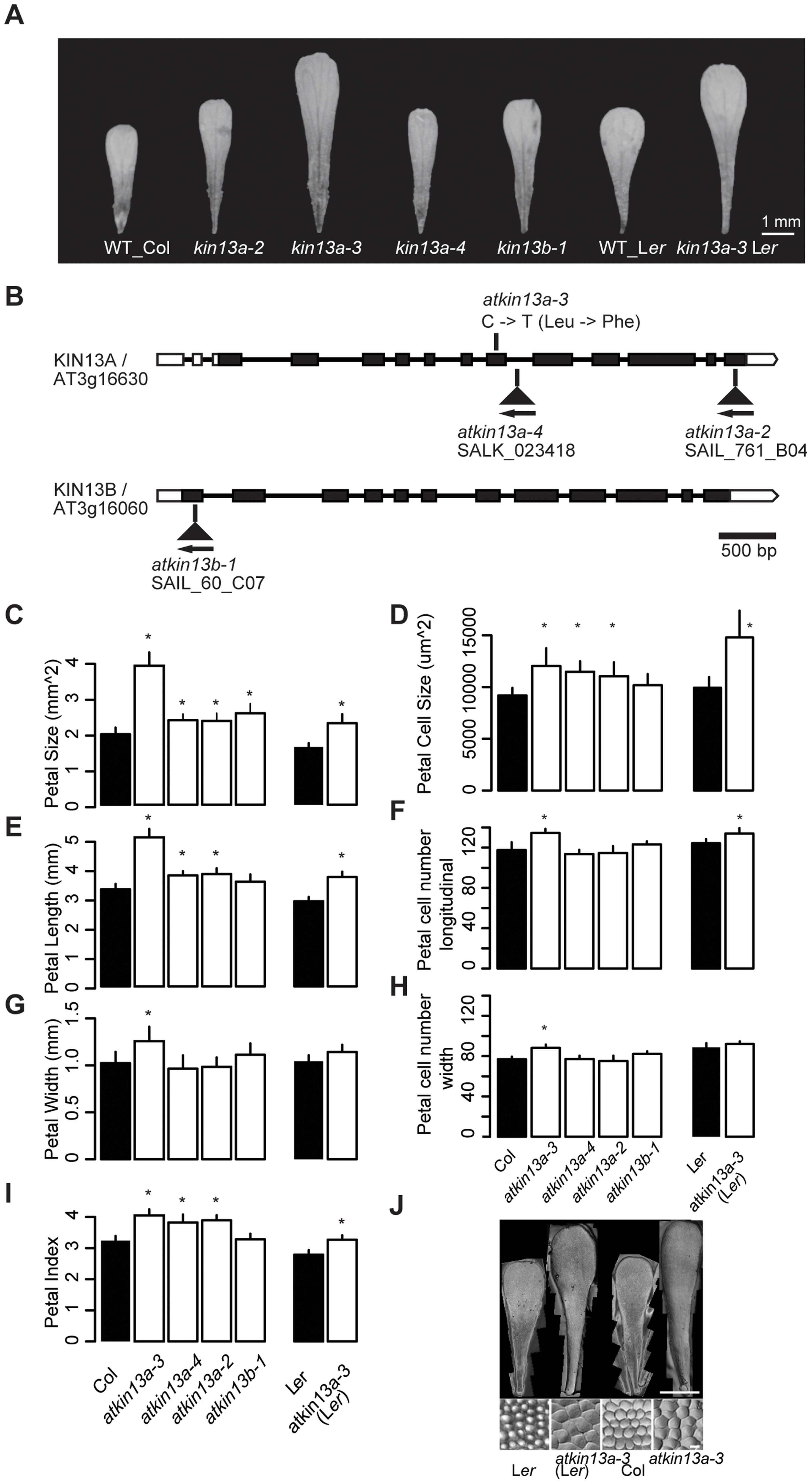Petal phenotypes of <i>atkin13a</i> and <i>atkin13b</i> loss-of-function mutants.