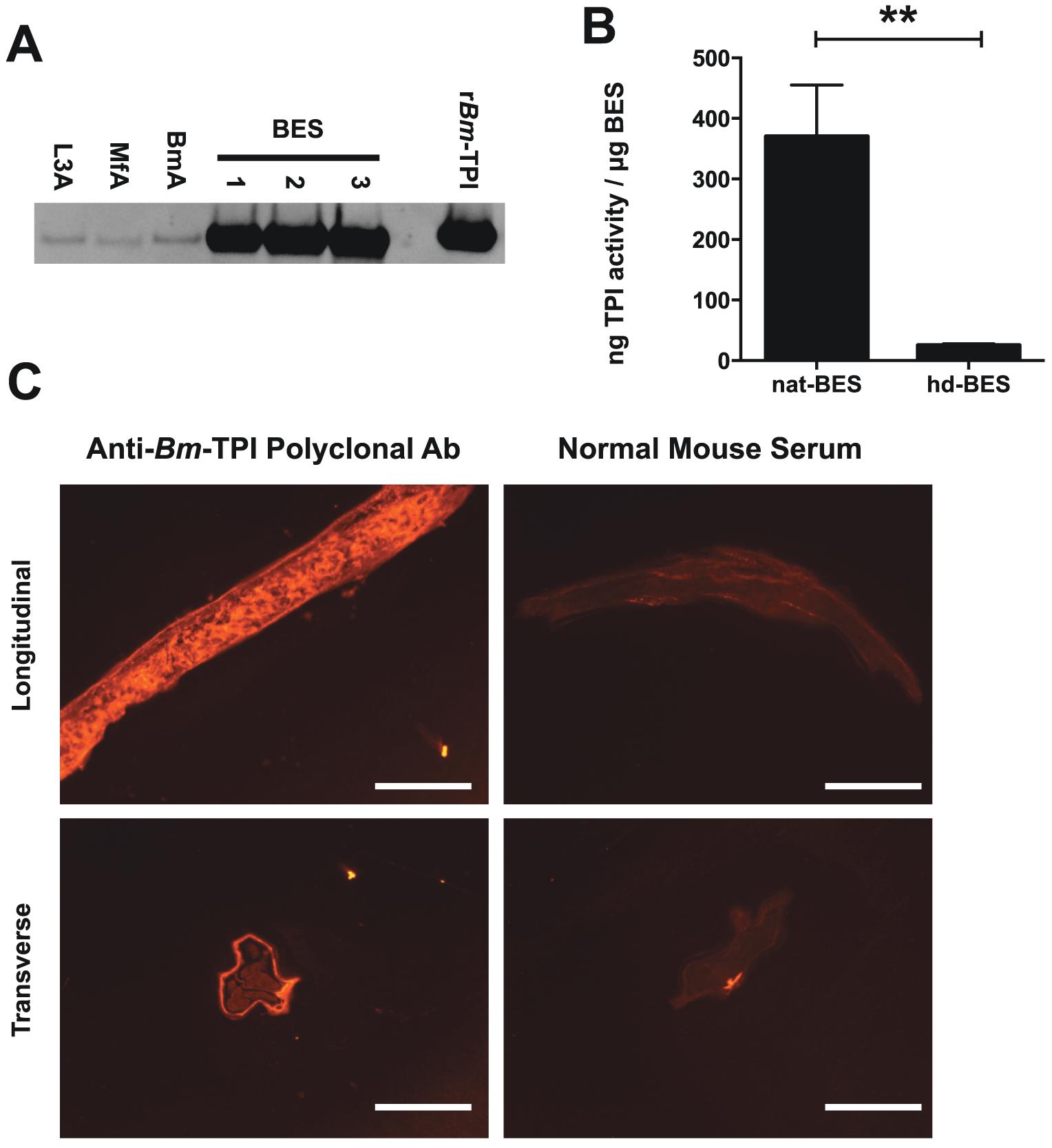 Adult worms preferentially secrete enzymatically active <i>Bm</i>-TPI.