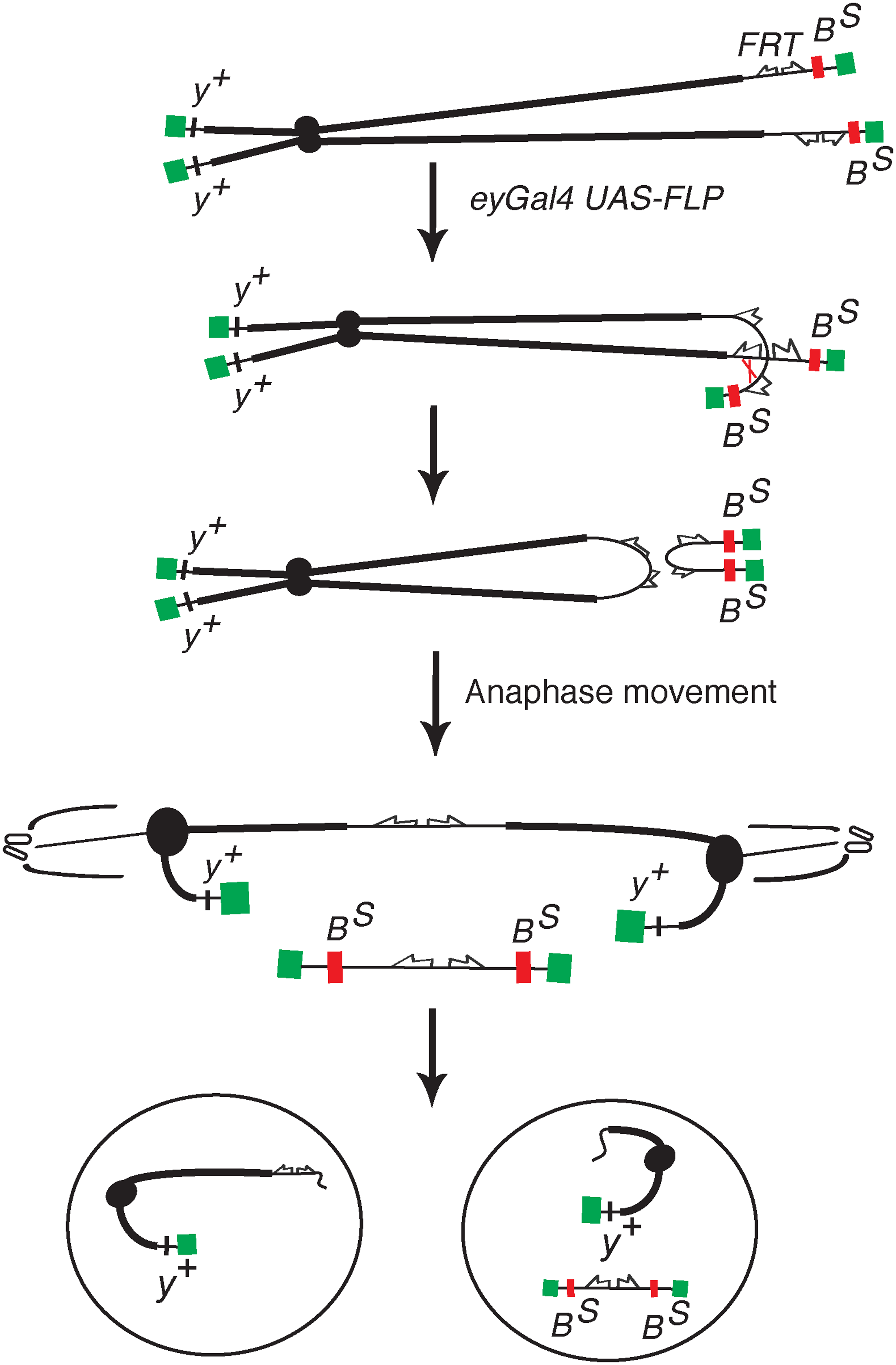 The <i>DcY(H1)</i> chromosome and BARTL assay.