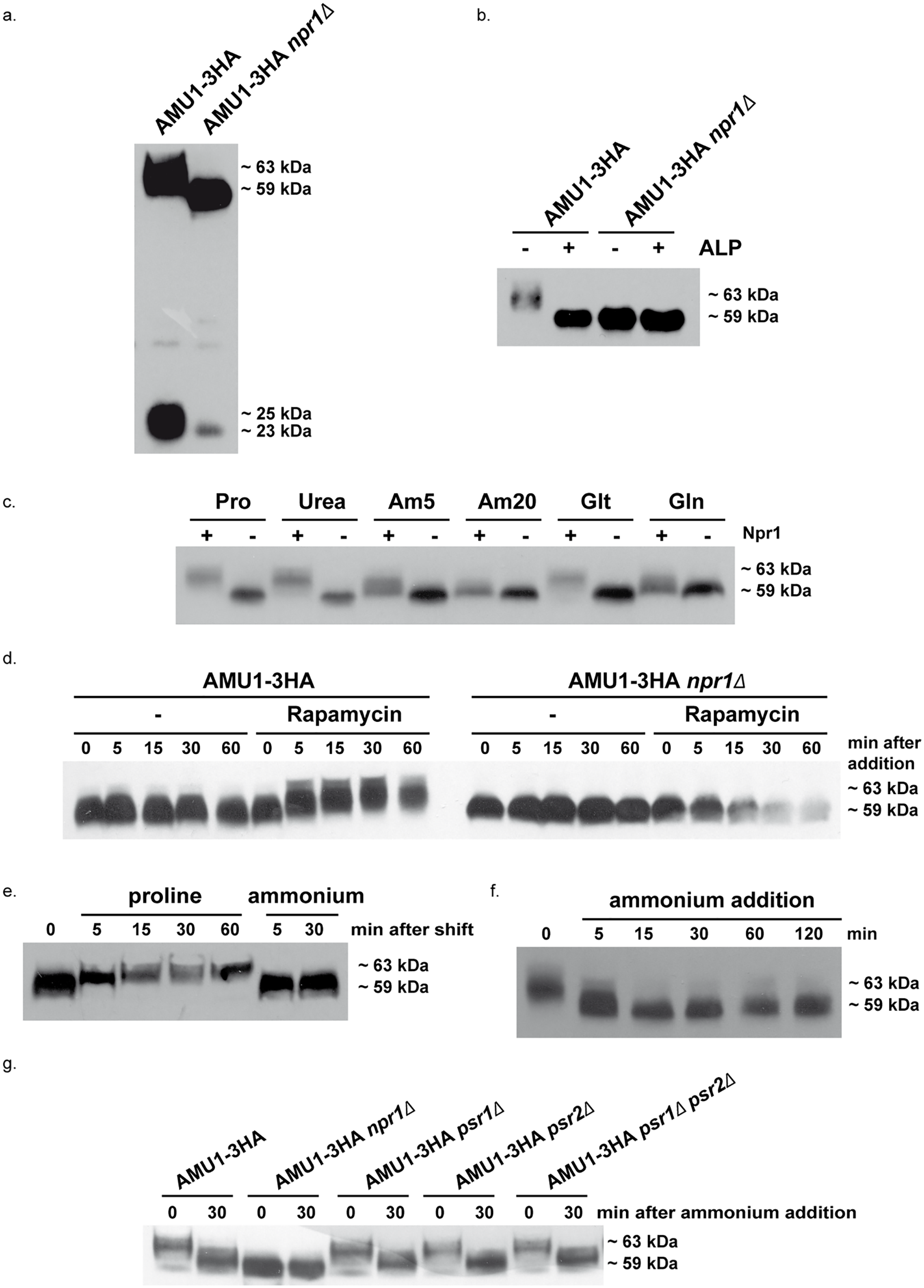 Amu1 phosphorylation is controlled by nitrogen supply, the Npr1 kinase and TORC1.