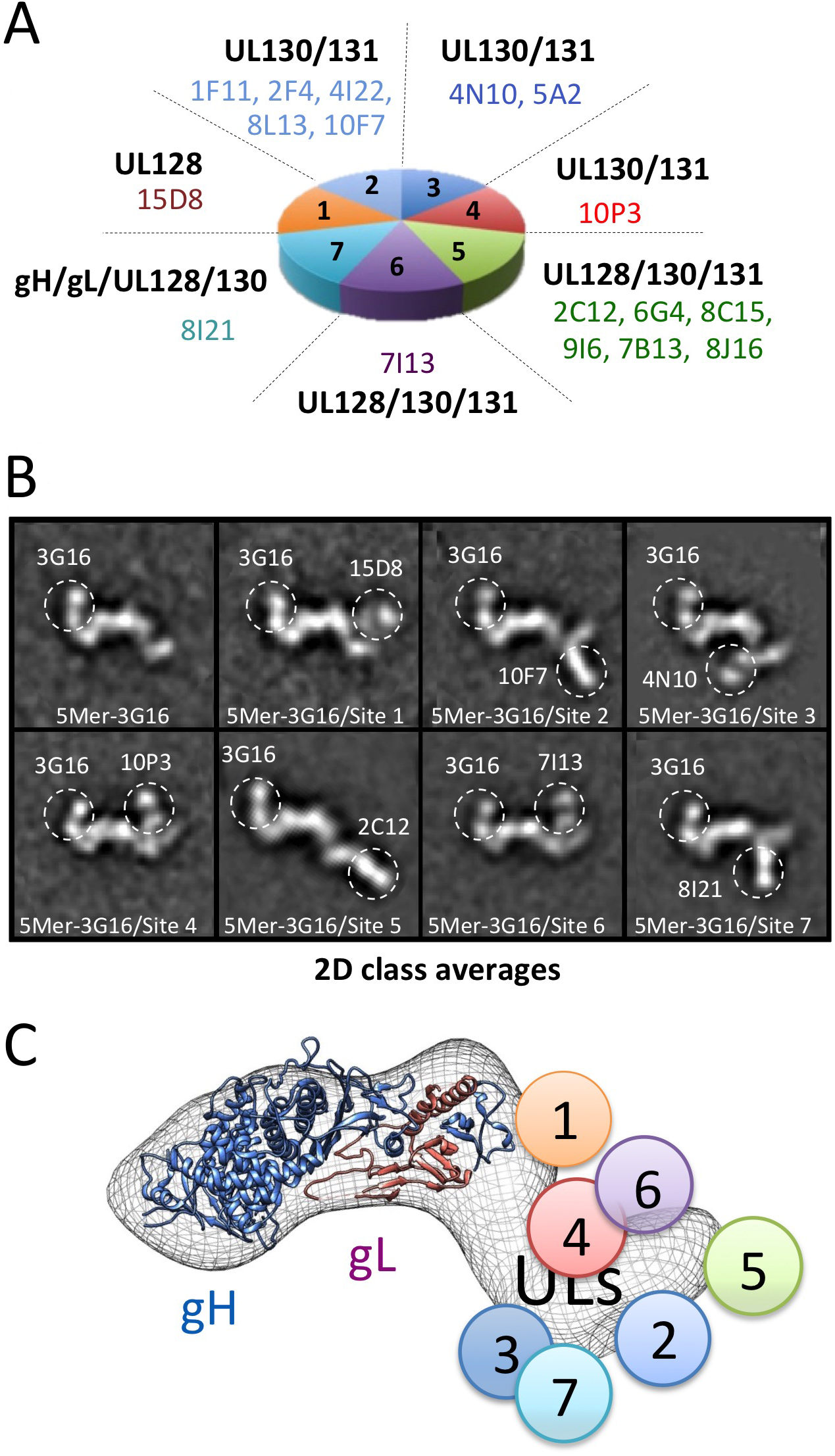 Pentamer specific neutralizing antibodies epitope mapping by NS 2D EM and competition studies.