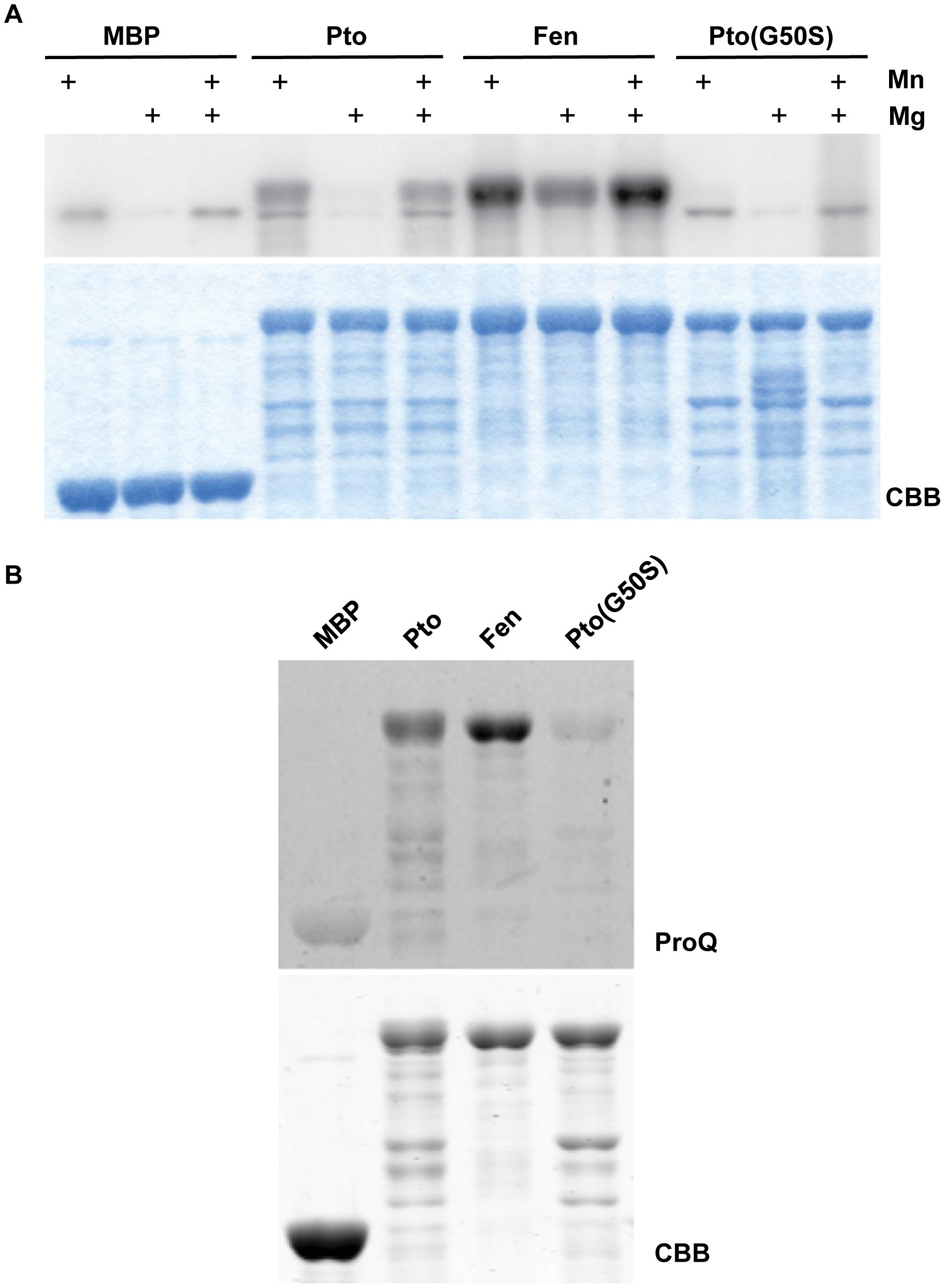 Fen has higher kinase activity than Pto and Pto(G50S) has little or no kinase activity.