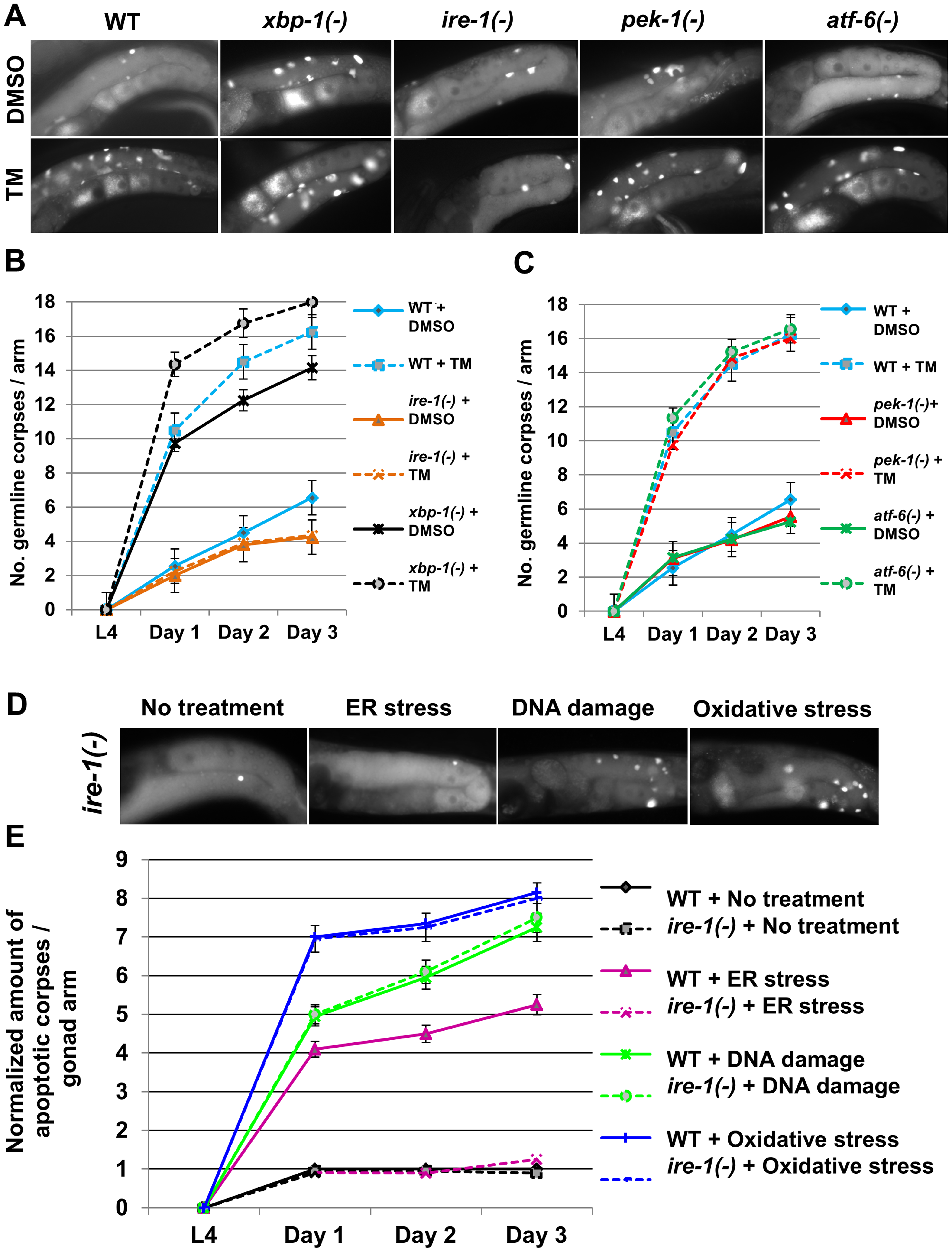 <i>ire-1</i> is specifically required for ER stress induced germ cell apoptosis.