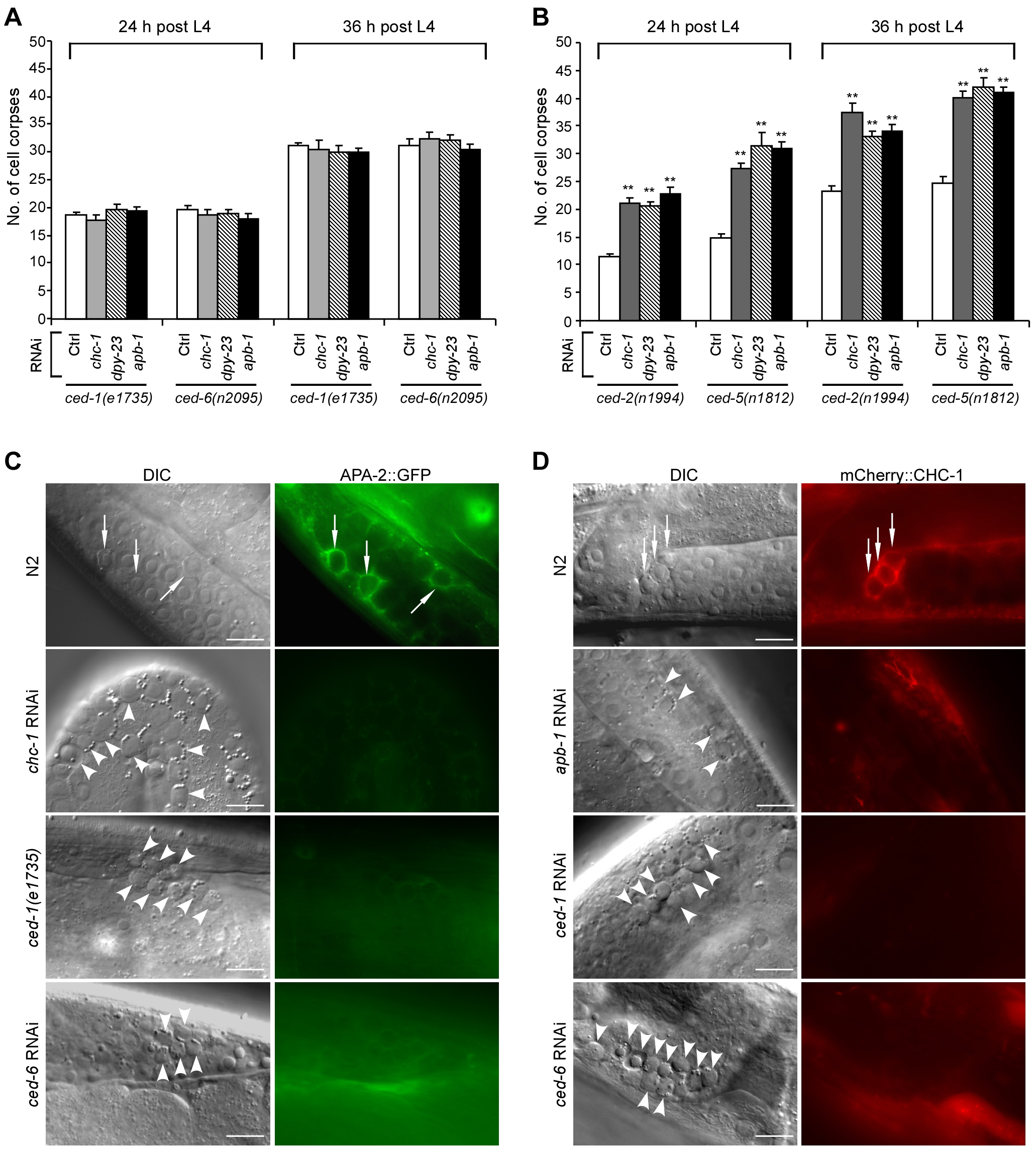 Clathrin and AP2 likely act in the same genetic pathway as CED-1 and CED-6.