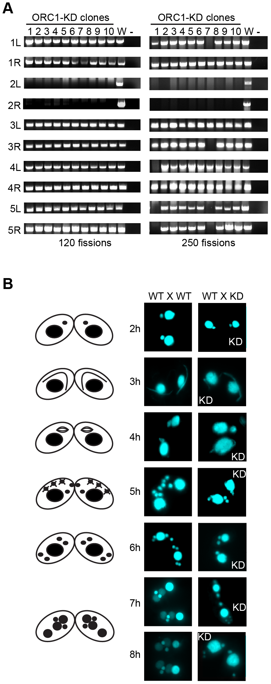 Micronuclear genome instability in ORC1 knockdown cells.