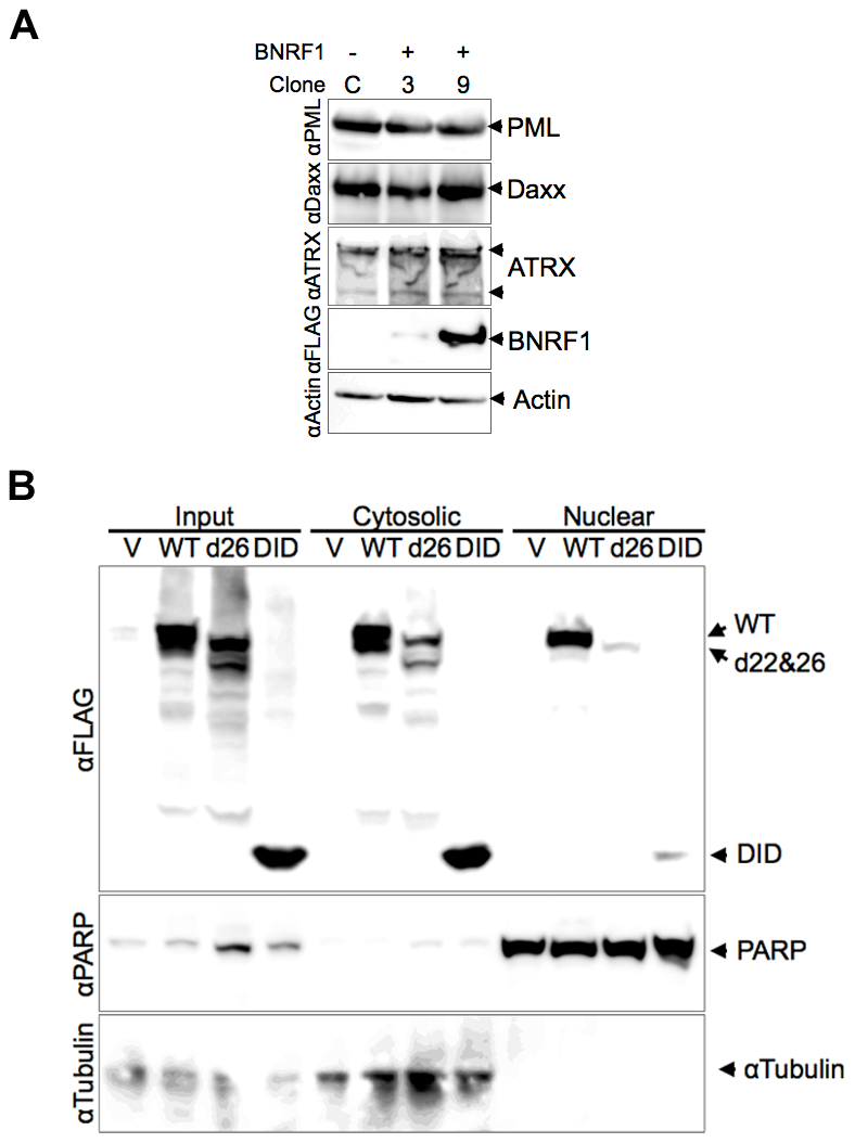 Stability and subcellular fractionation of BNRF1 proteins.