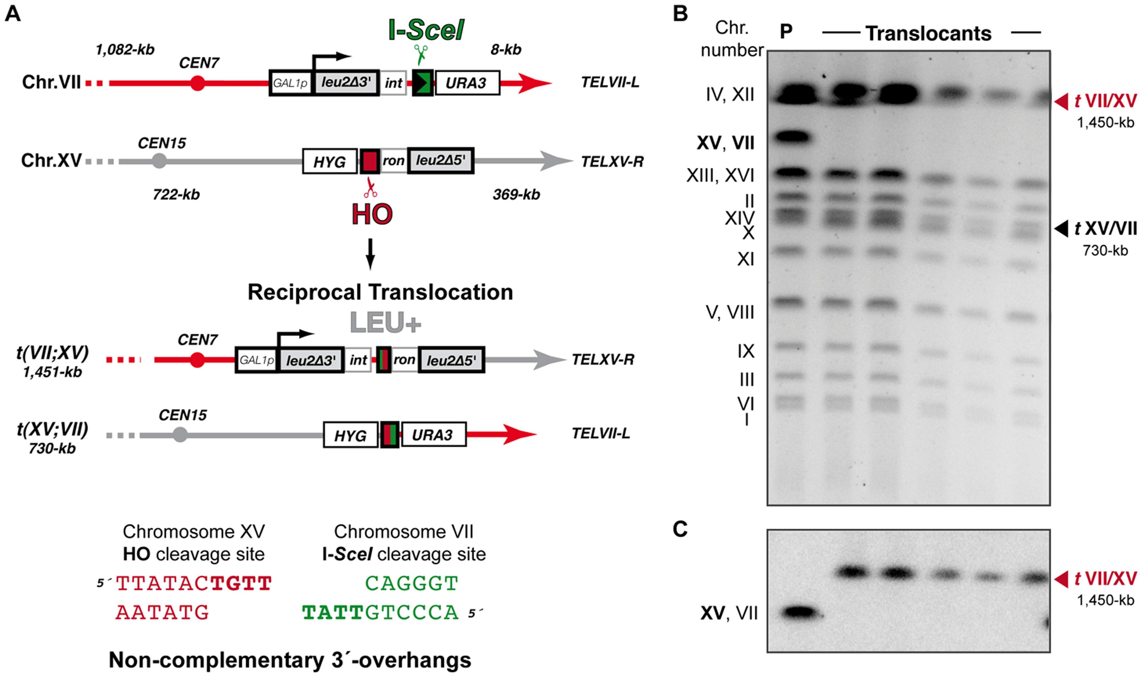 Intron-based assay to detect NHEJ-mediated chromosomal translocations in the absence of sequence complementarity.