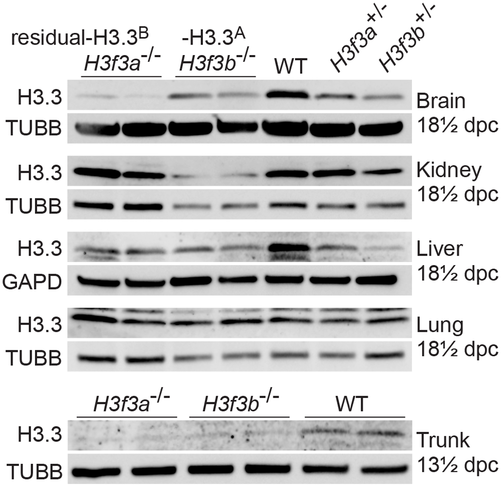 Relative amounts of residual H3.3<sup>A</sup> and H3.3<sup>B</sup> in fetal tissues.