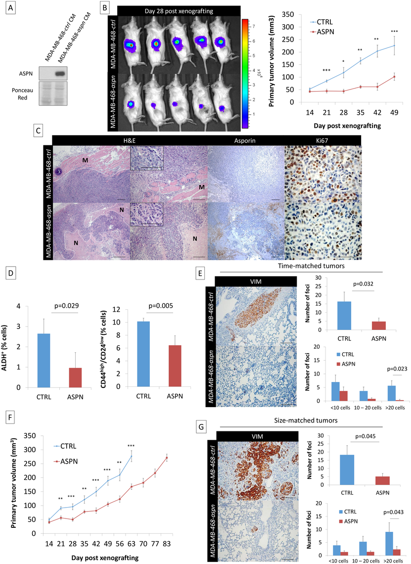Asporin reduces primary breast cancer tumor growth and lung metastasis formation in vivo.