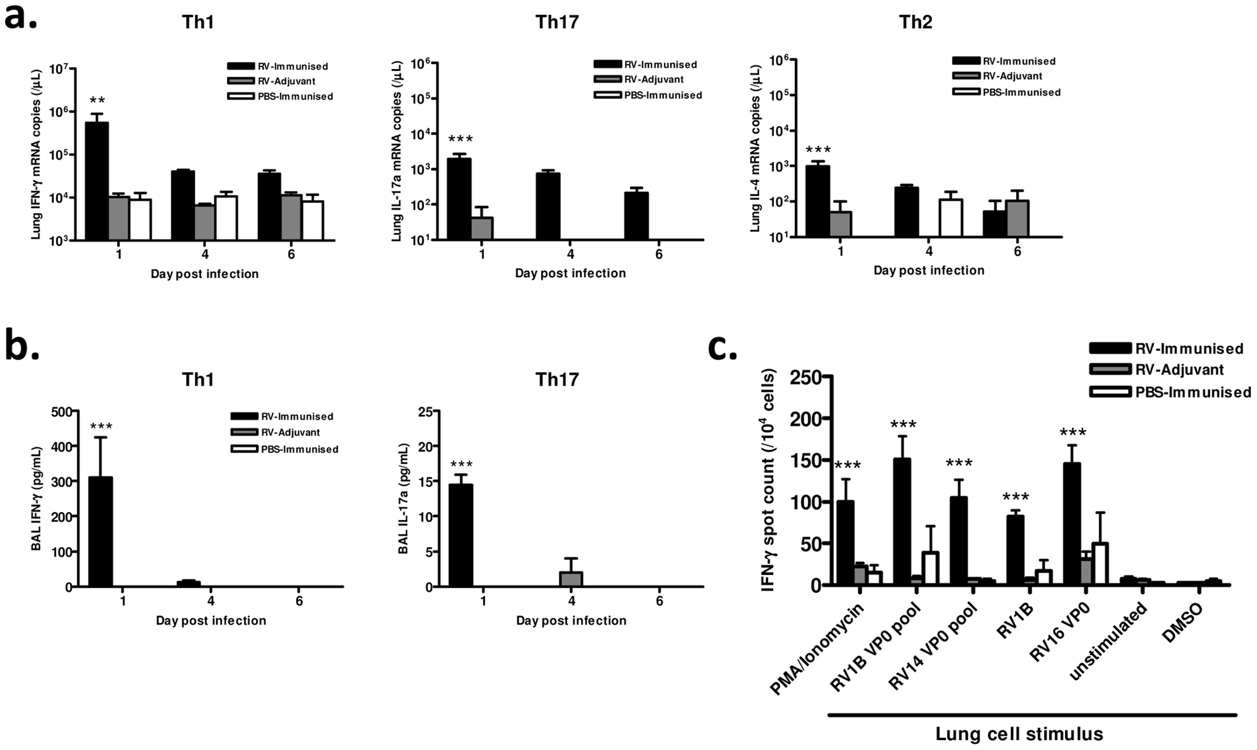 Immunization enhances lung Th1/Tc1 responses to heterologous RV infection.