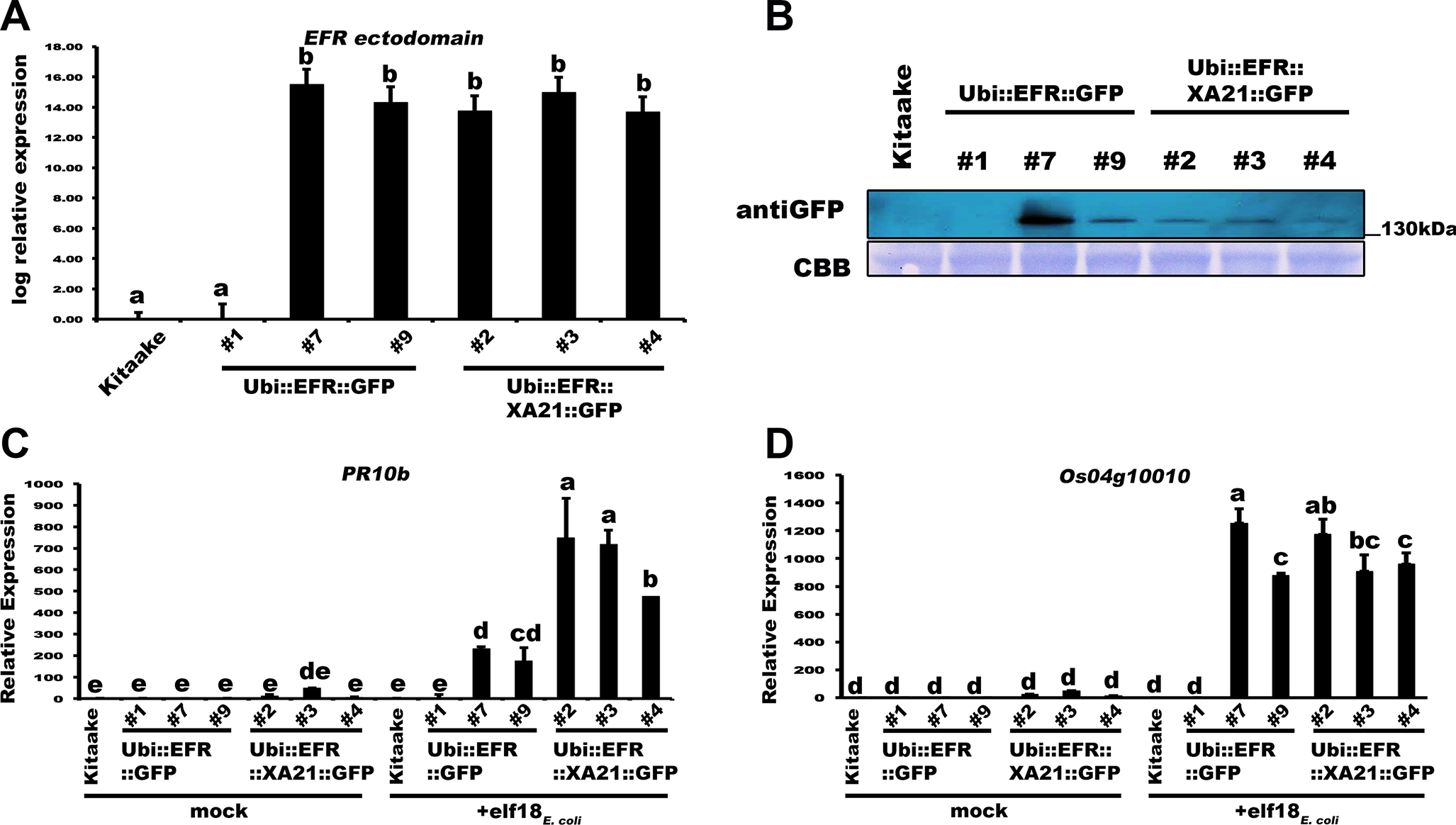 Transgenic expression of EFR and EFR::XA21 in rice leads to elf18<sub><i>E</i>.<i>coli</i></sub> responsiveness.