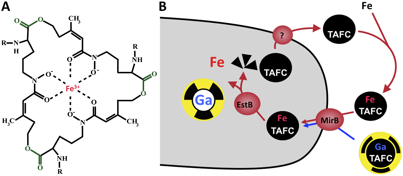 Siderophore mediated-iron uptake in <i>A. fumigatus</i>.