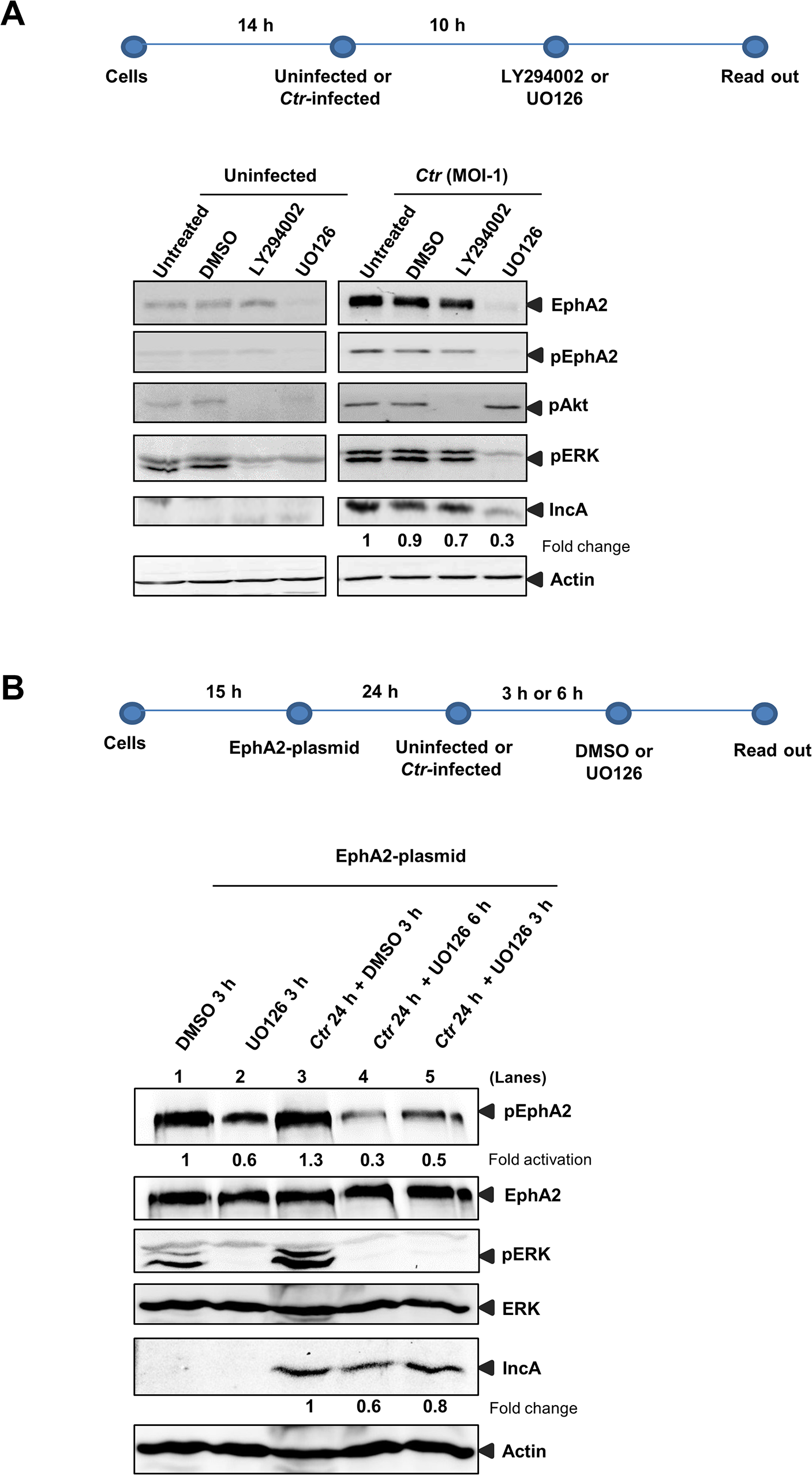 <i>Ctr</i>-mediated EphA2 regulation is ERK dependent.