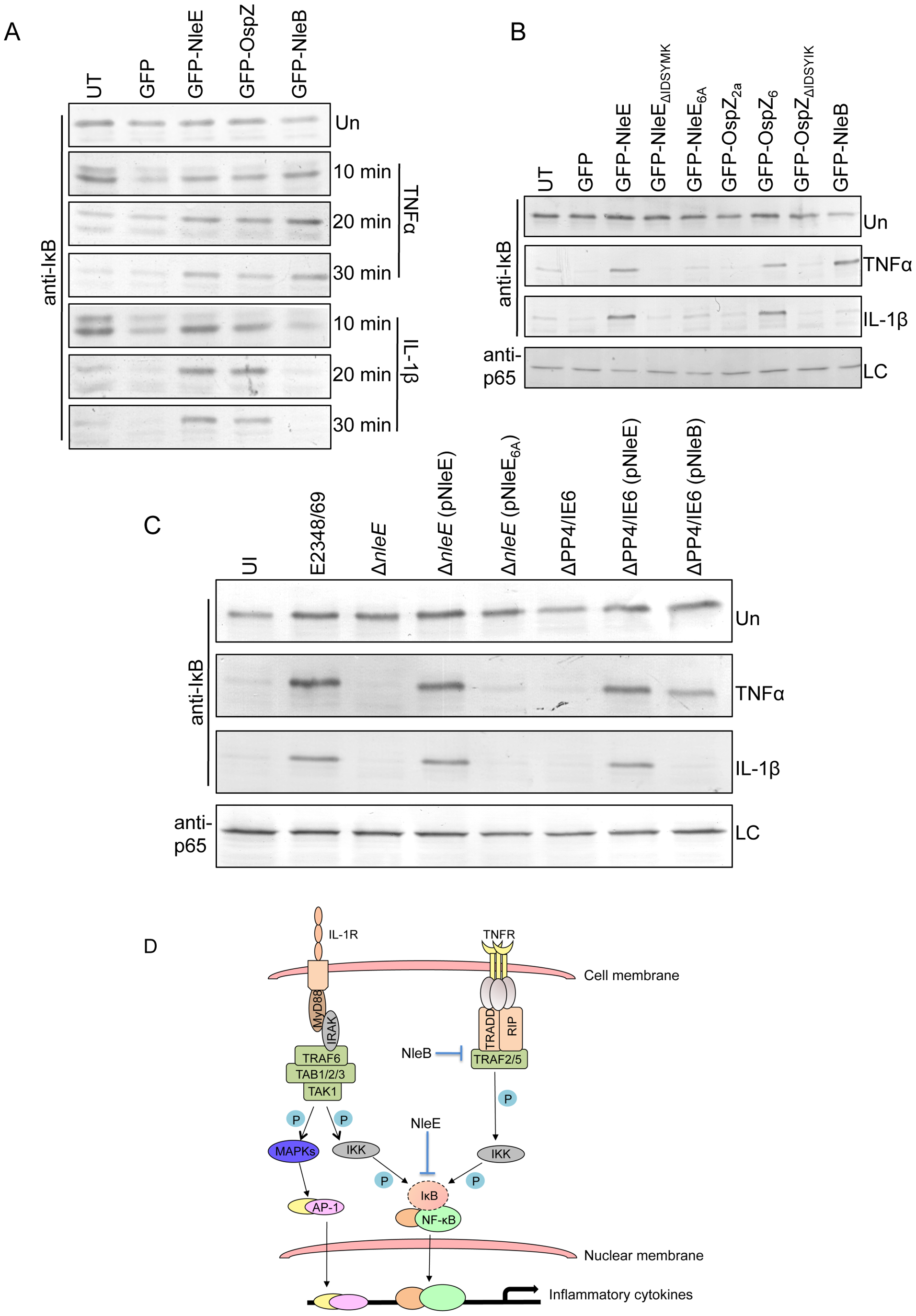Effect of NleB and NleE on IκB degradation.