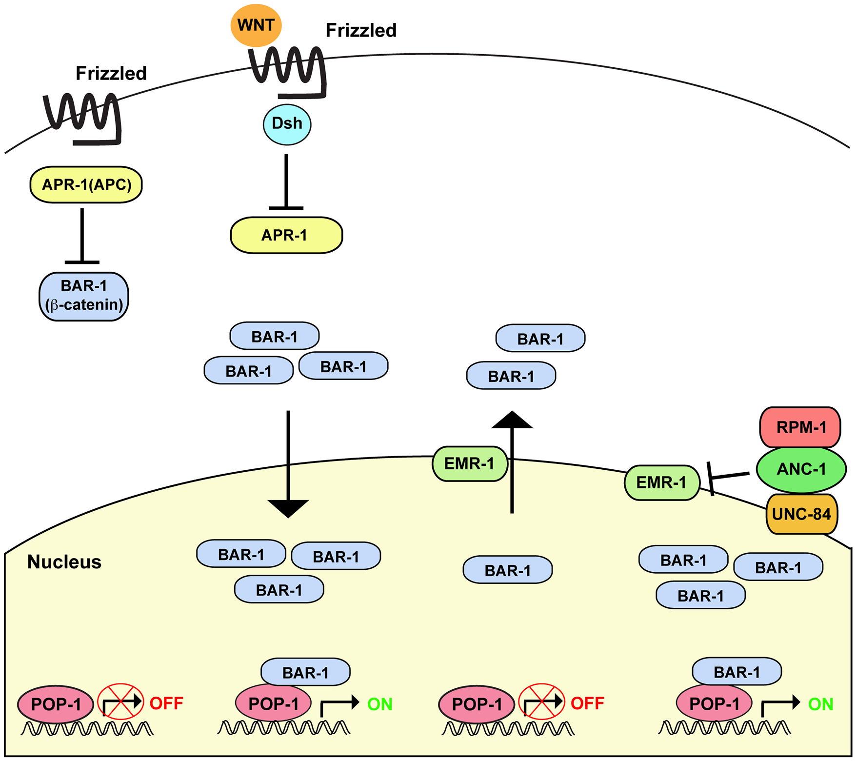 Summary of RPM-1 signaling through the ANC-1/BAR-1 pathway.