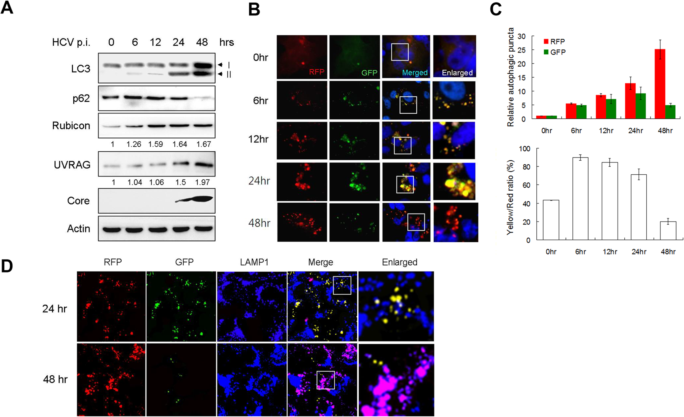 Analysis of autophagosomal maturation in HCV-infected cells.