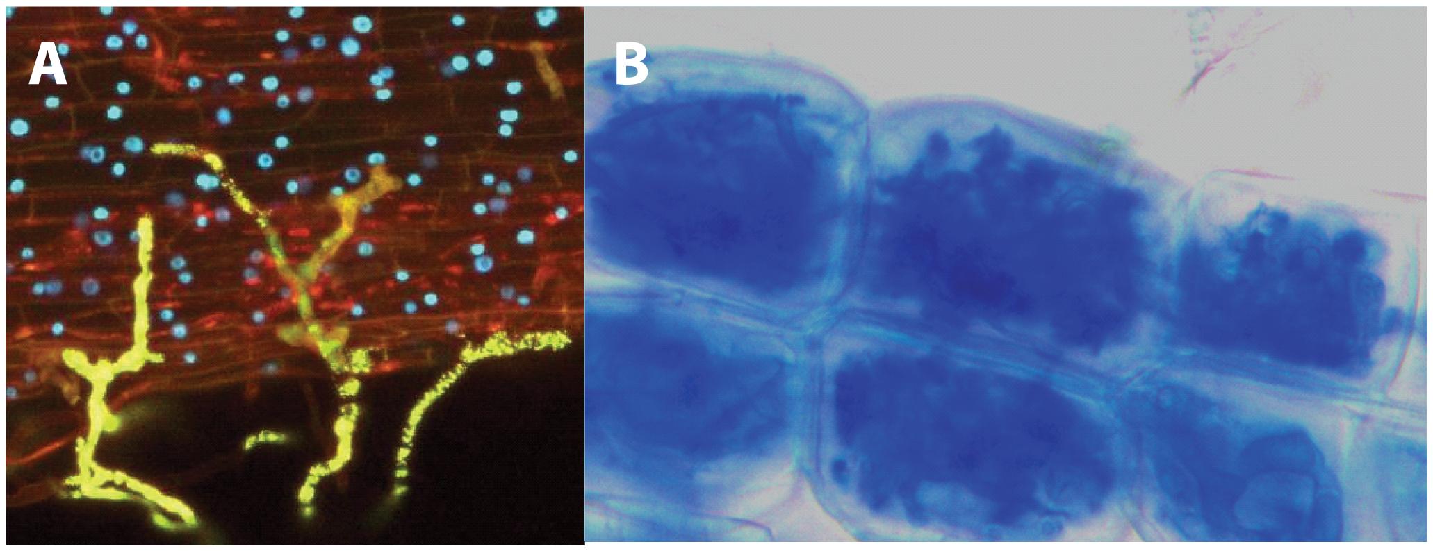 Establishment of the mycorrhizal symbiosis.