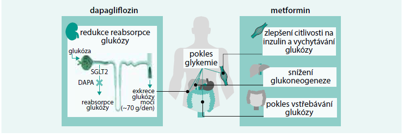 Schéma. Doplňující se mechanizmy účinku dapagliflozinu a metforminu