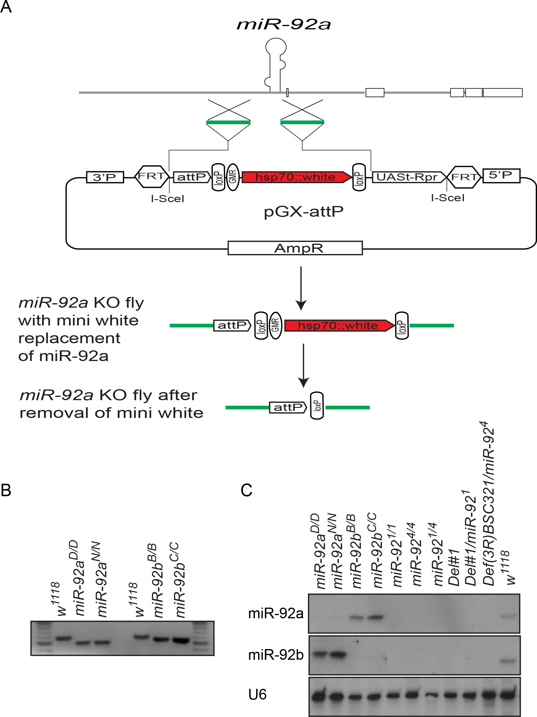 Generation of <i>miR-92a</i><sup><i>–/–</i></sup> and <i>miR-92b</i><sup><i>–/–</i></sup> flies by ends-out gene targeting.