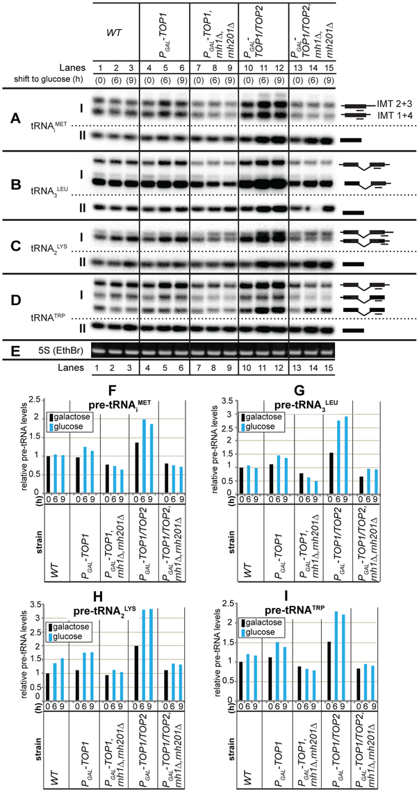 R-loops at tRNA genes affect pre-tRNA synthesis in strains lacking topoisomerase and RNase H activities.