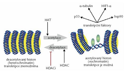 Změny genové exprese účinkem acetylace histonů. Acetylace histonacetyltransferázami (HAT) působí změnu uzavřeného chromatinu v otevřený euchromatin, který umožní kontakt transkripčních faktorů s DNA. Opětnému uzavření chromatinu zabrání inhibitory histondeacetyláz (HDACi).