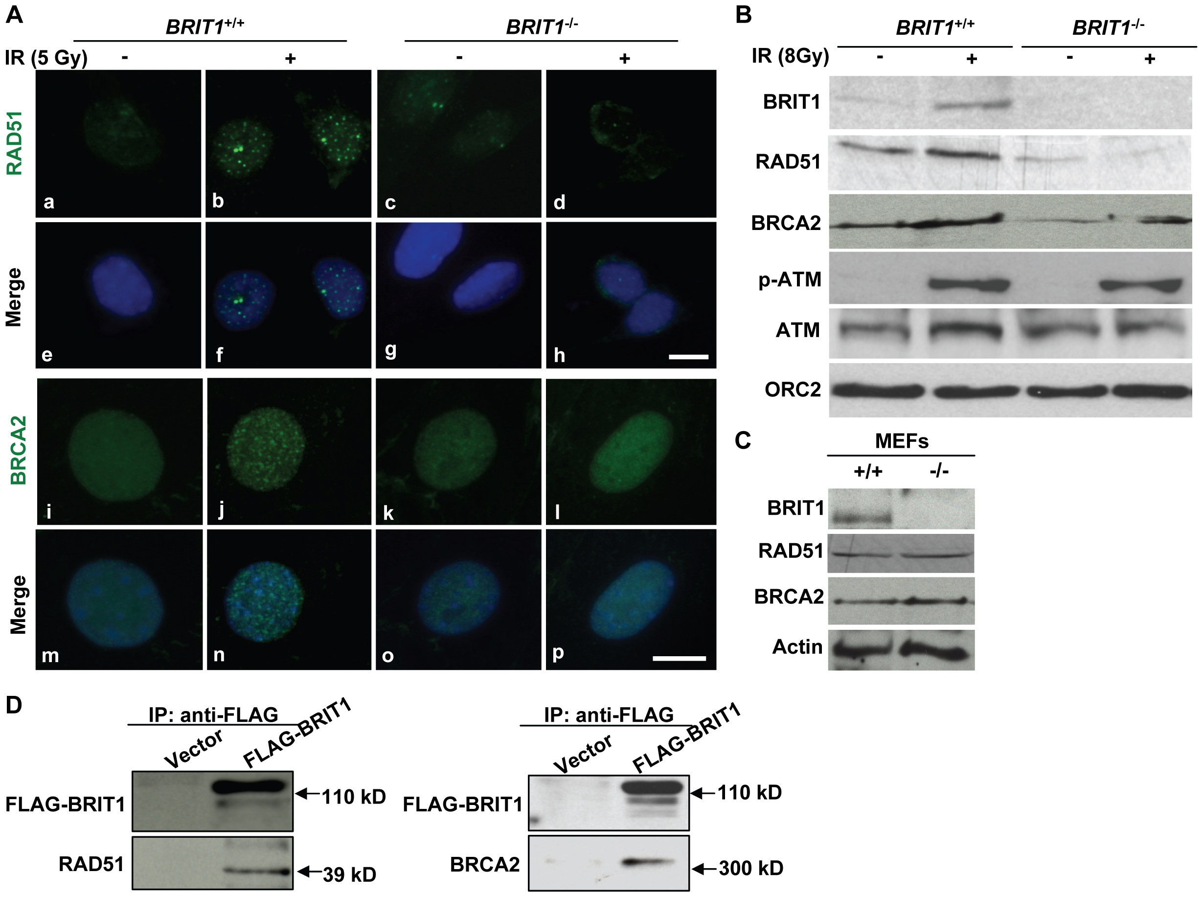 BRIT1 is required for recruitment of RAD51/BRCA2 to the IR-induced DNA damage sites.