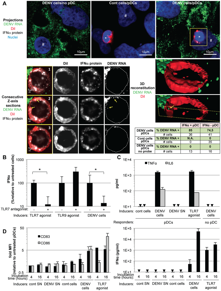Recognition and pDC antiviral signaling triggered by DENV infected cells.