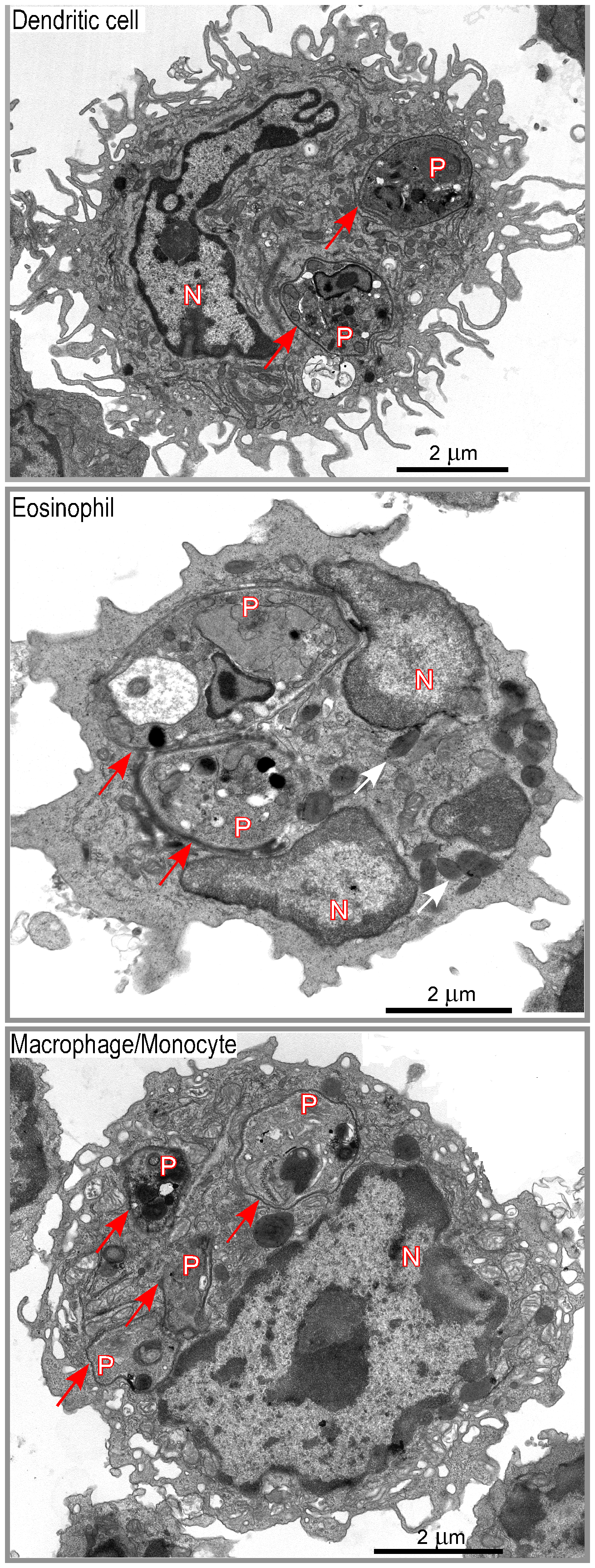 Morphological analysis of DsRed<sup>+</sup> cells.