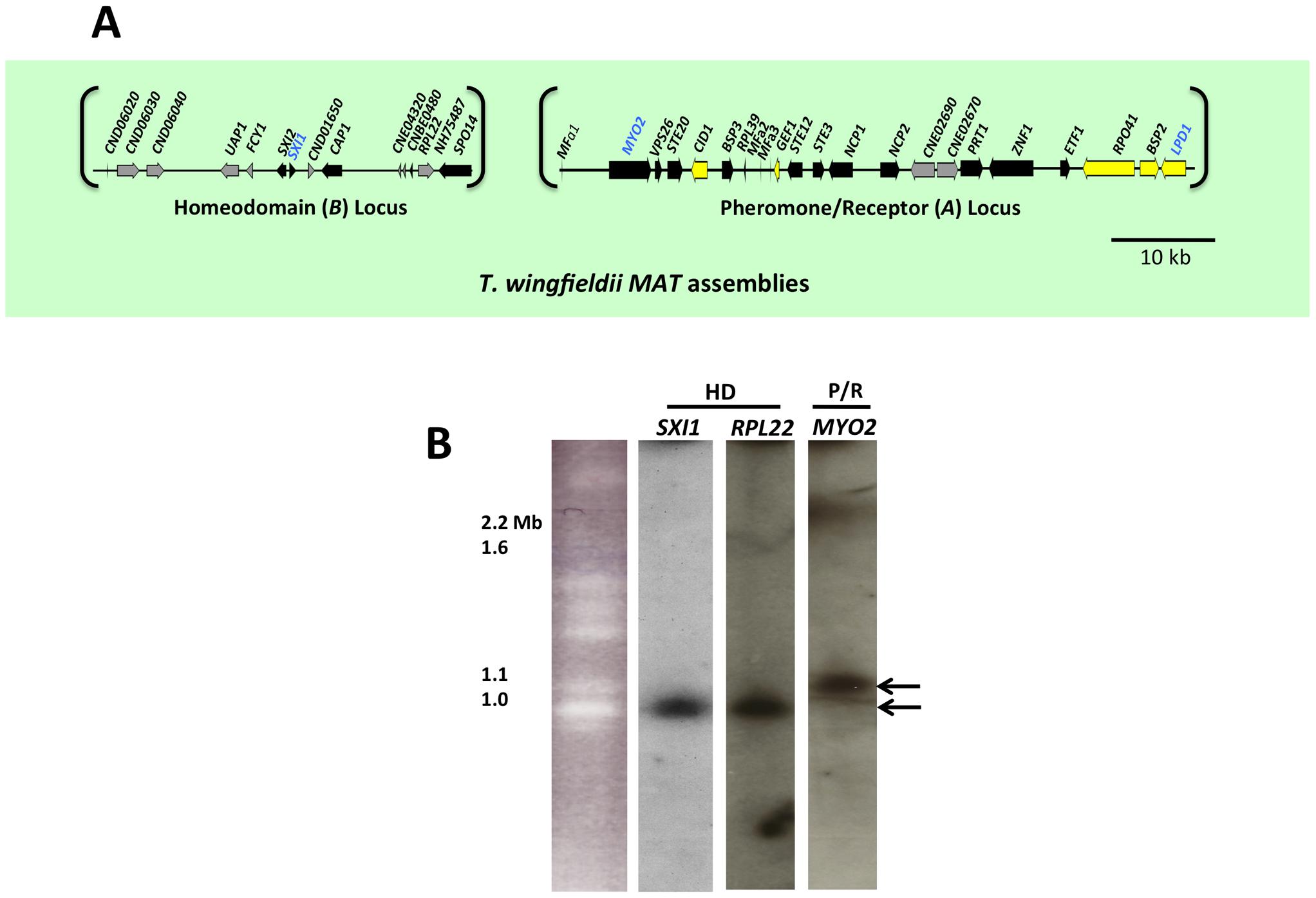 <i>T. wingfieldii MAT</i> loci and chromosomal locations.