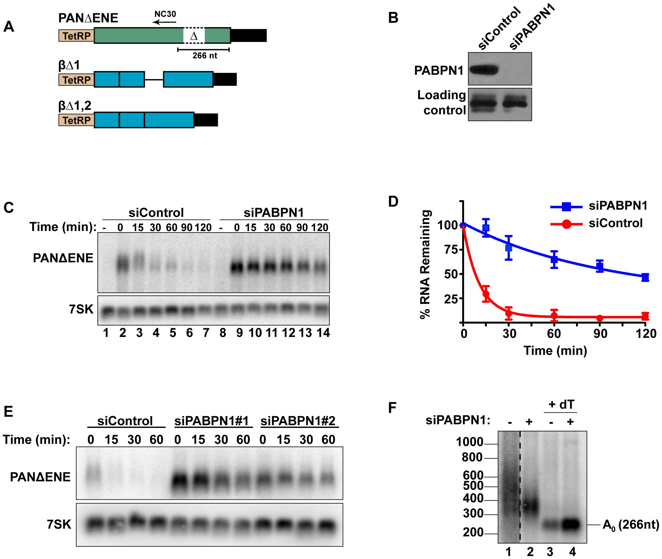 Rapid degradation of PANΔENE requires PABPN1.