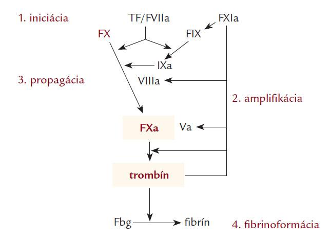 Kľúčová úloha faktora Xa a trombínu v aktivácii hemostázy. Podľa [6,7].