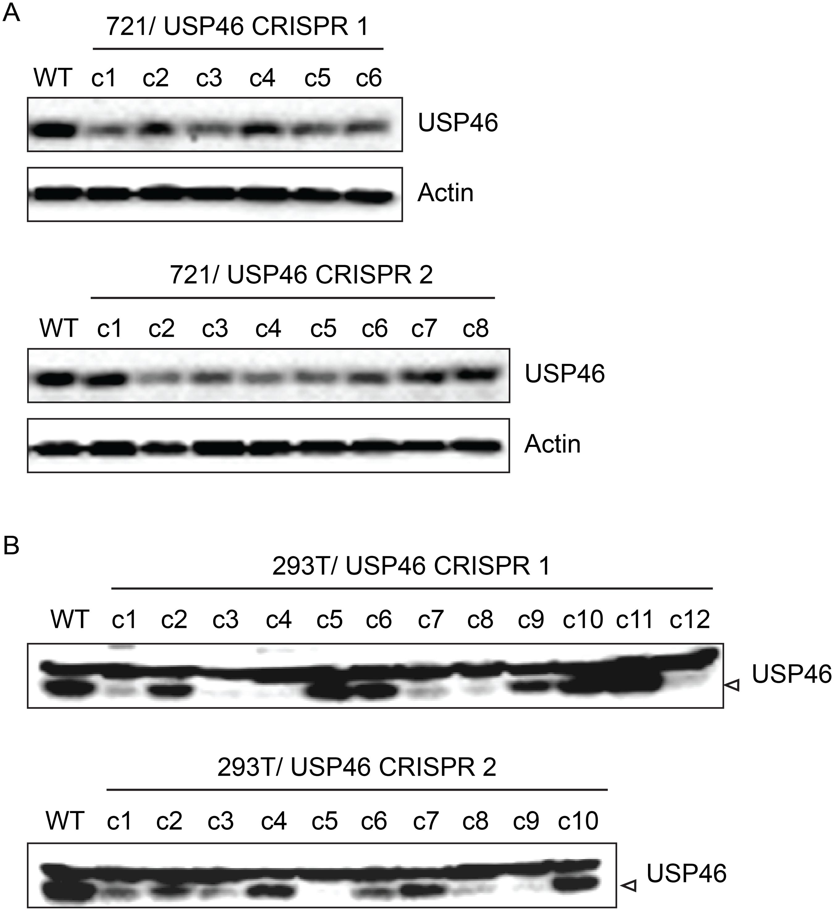 Inability to derive USP46 null LCLs using CRISPR/ Cas9 mediated gene editing.
