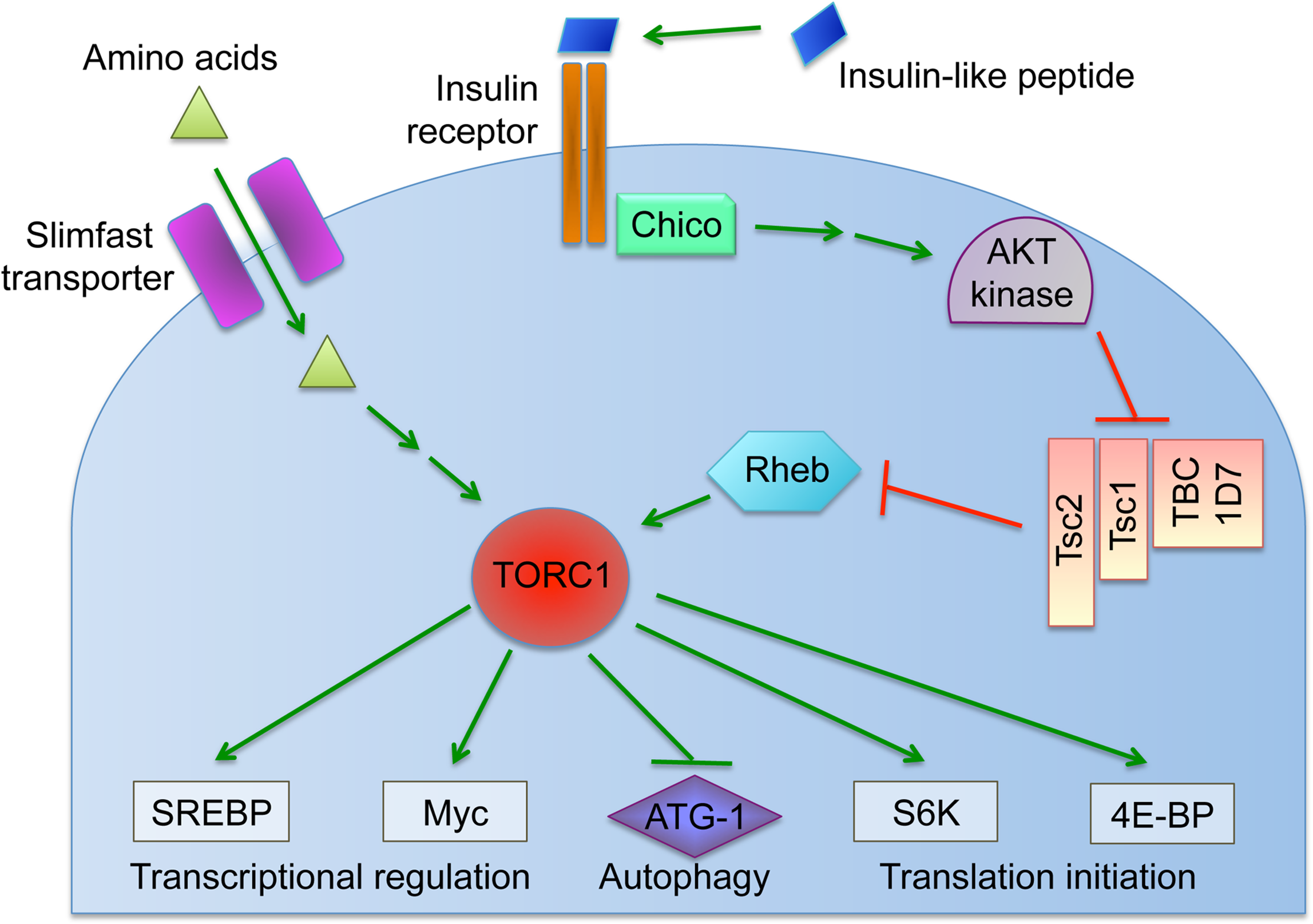 Overview of the nutrient-induced TORC1 signaling pathway.