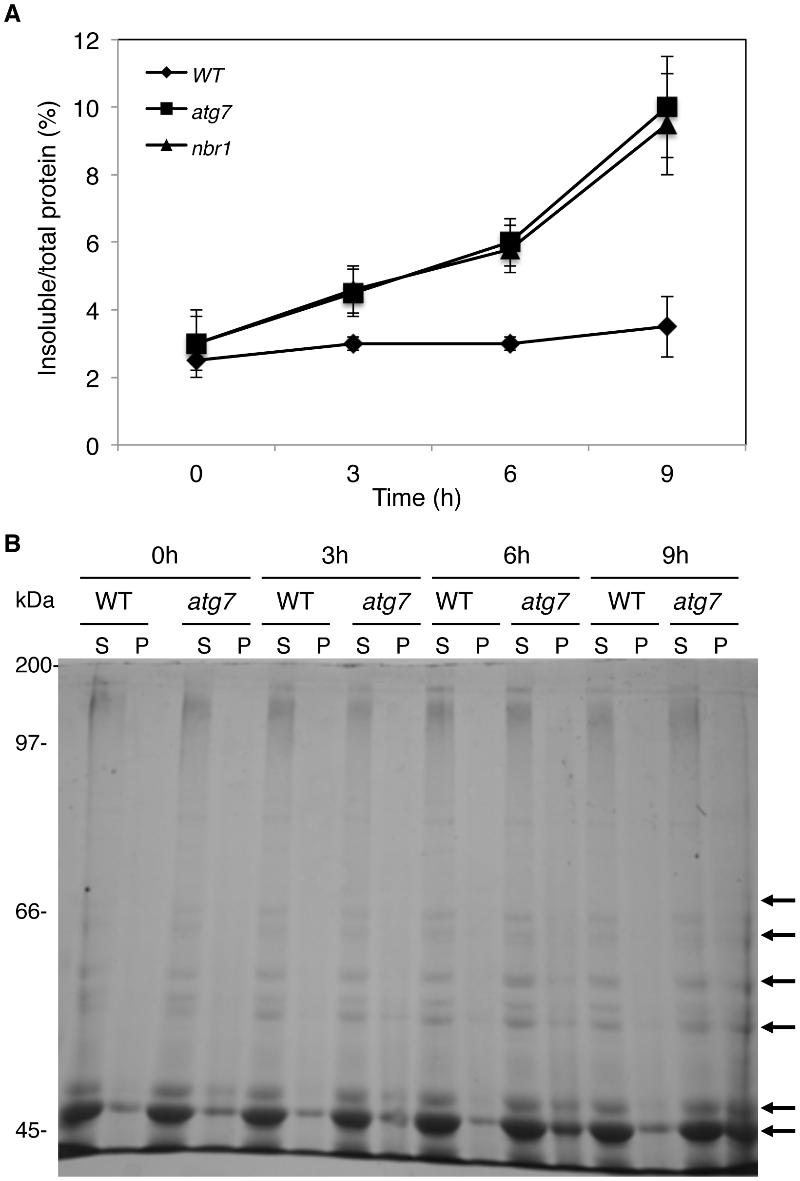 Increased accumulation of insoluble protein aggregates in the <i>atg7</i> and <i>nbr1</i> mutants under heat stress.