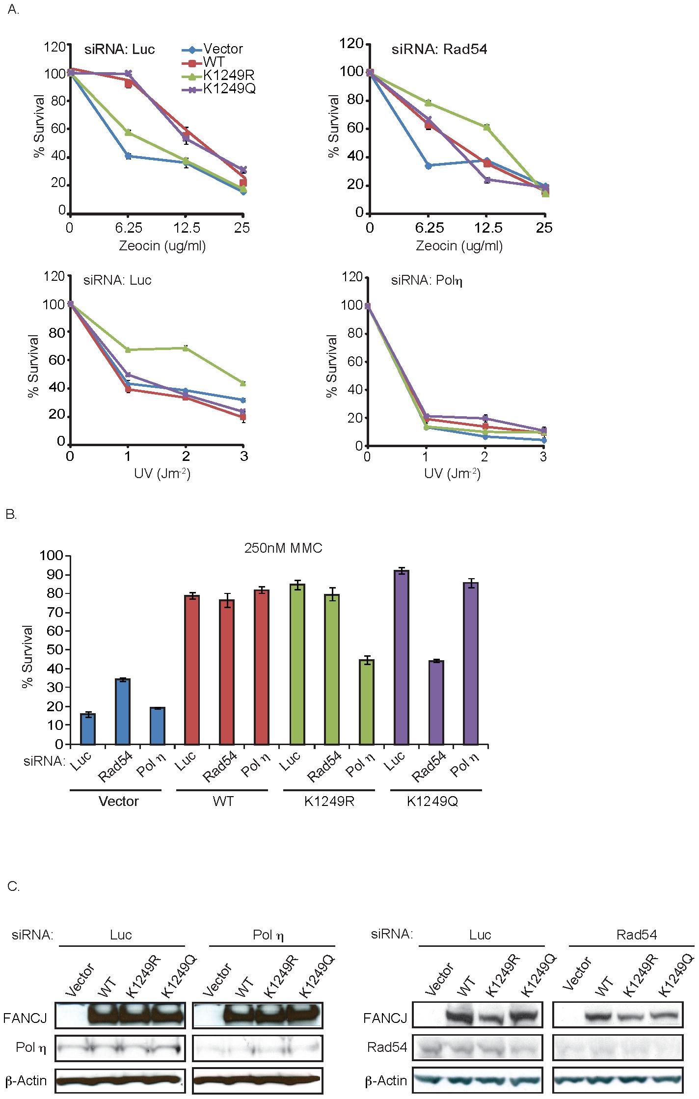 FANCJ<sup>K1249R</sup> or FANCJ<sup>K1249Q</sup> promotes polη- or Rad54-dependent repair, respectively.