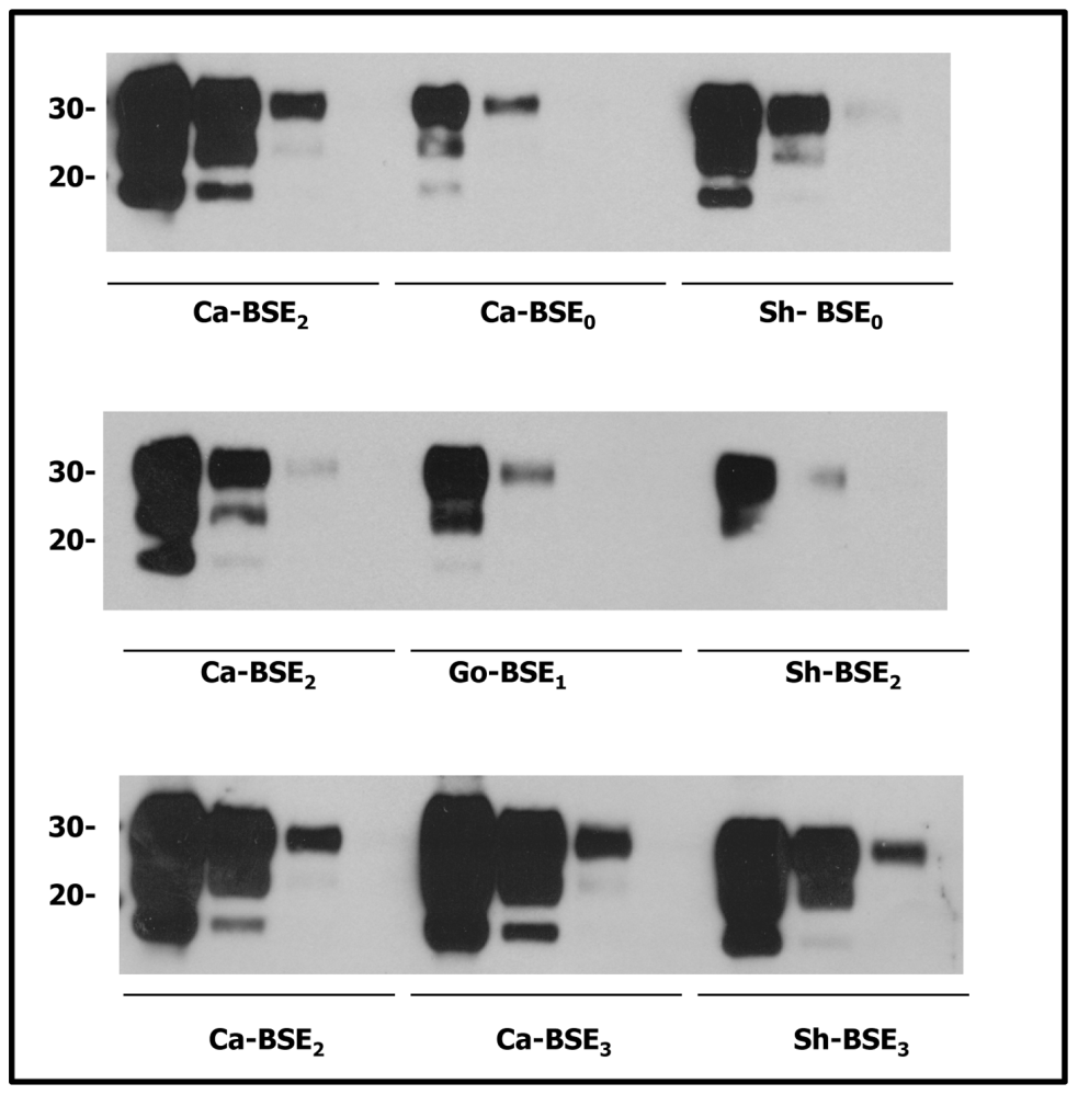 Comparative PrP<sup>res</sup> content of the cattle, sheep and goat isolates used for tgHu bioassays.
