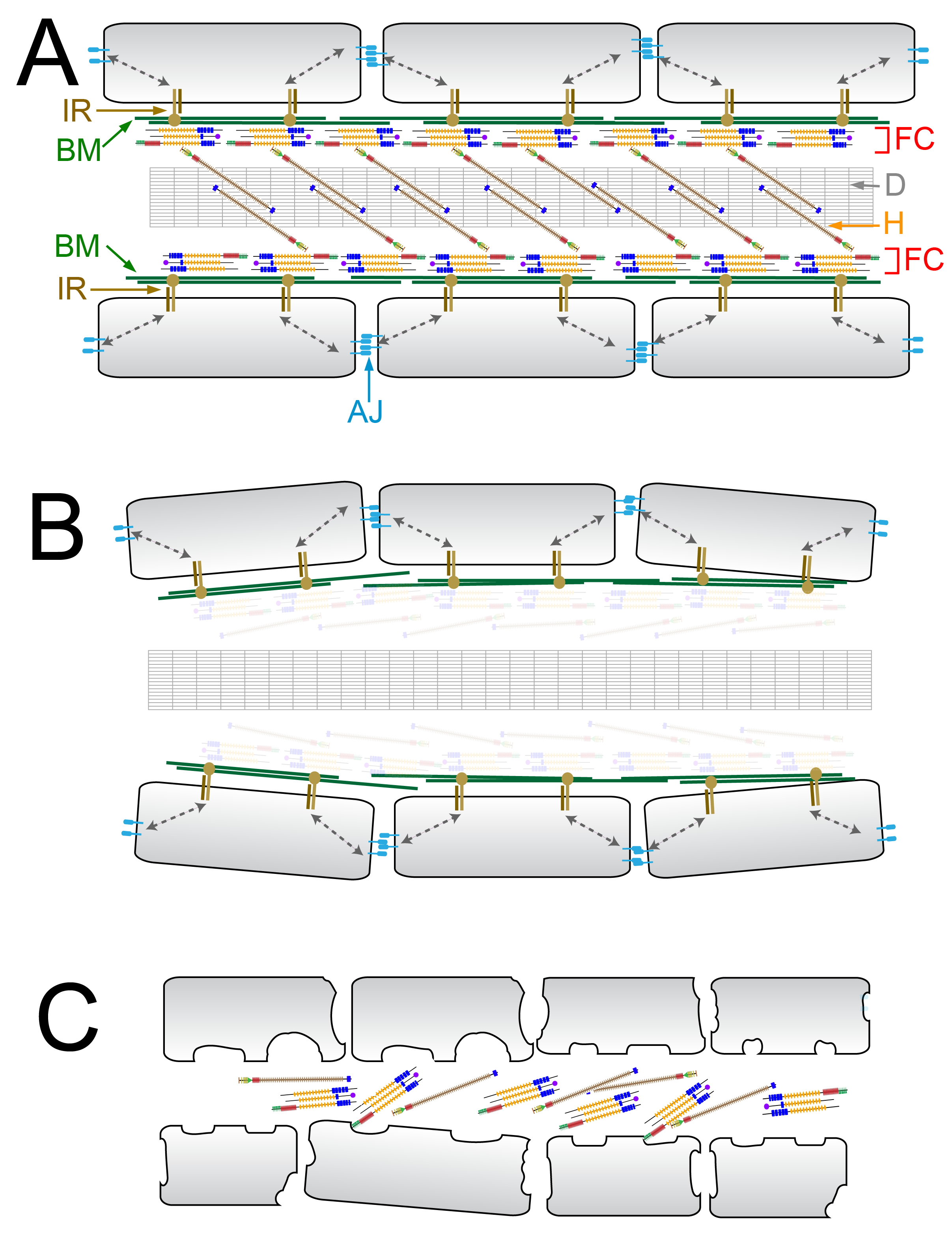Model describing the ultrastructural changes underlying the fin phenotypes of blistering and dysmorphogenesis mutants.