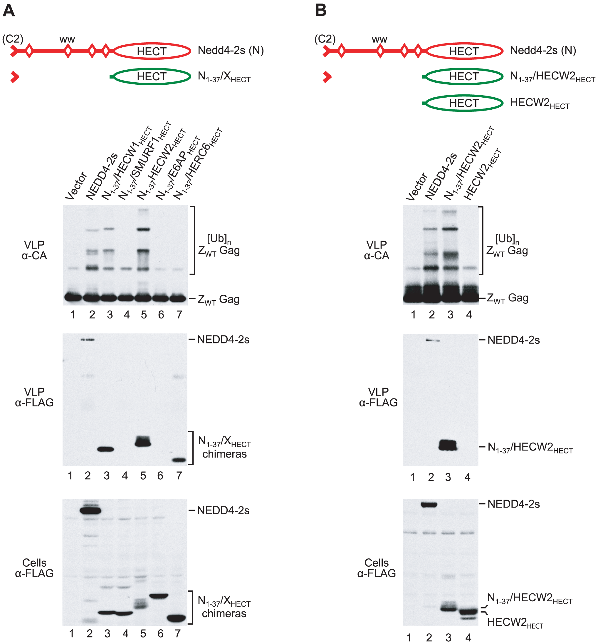 The NEDD4-2s residual C2 domain is sufficient to target some isolated HECT domains to Gag.